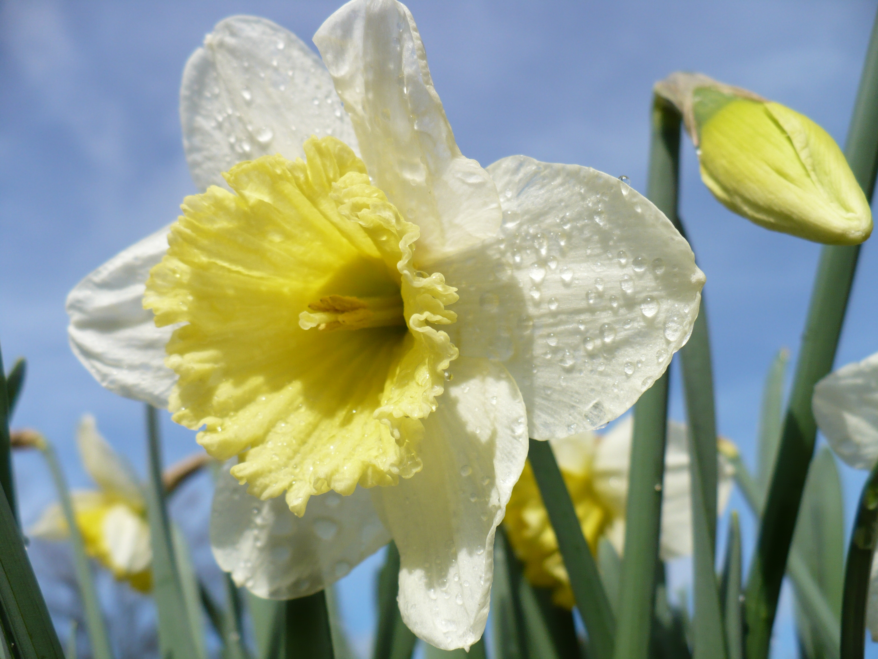Daffodils, Bulbs, Closeup, Drops, Floral, HQ Photo
