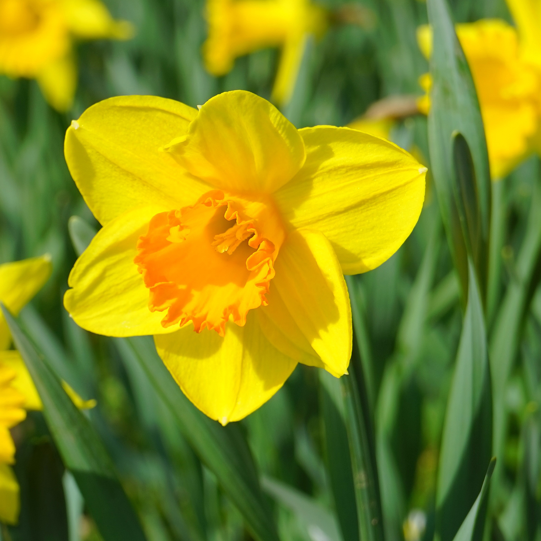 Daffodils - Homestead Gardens, Inc. | Homestead Gardens, Inc.