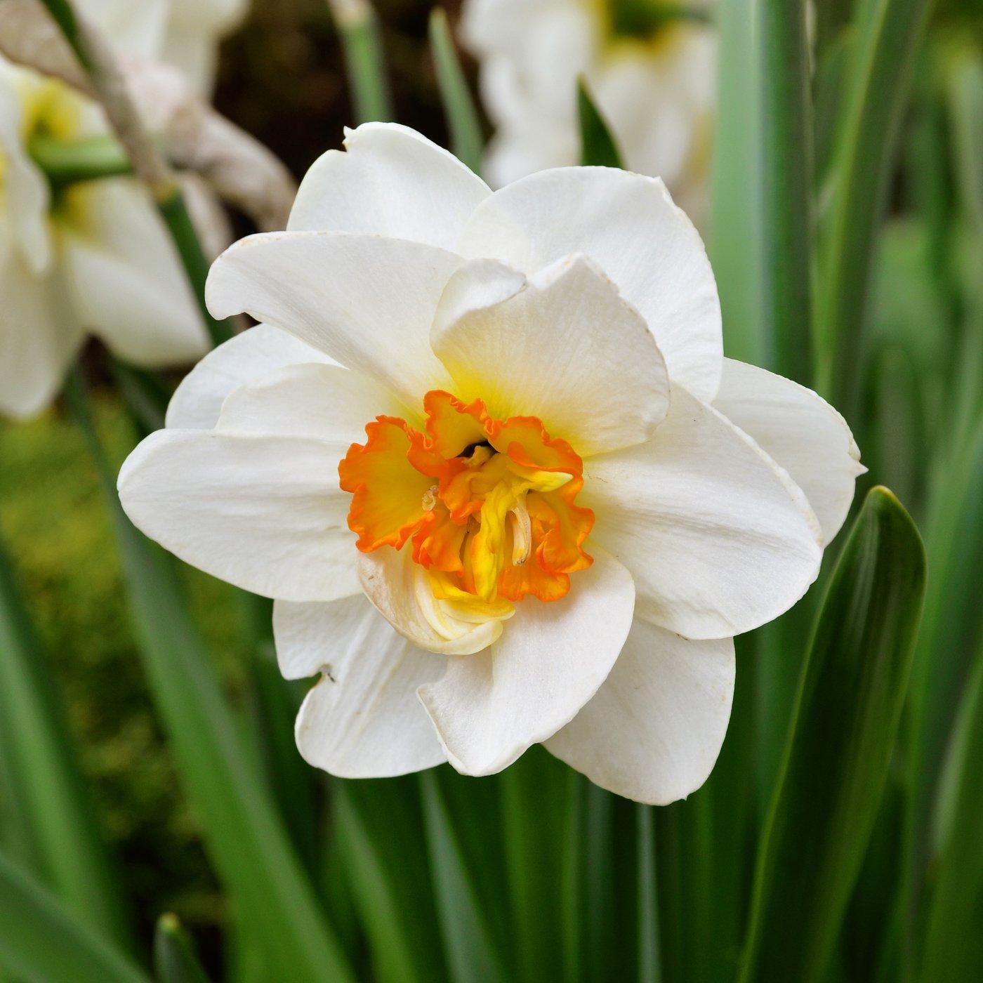 Daffodil Bulbs for Sale Online – Easy To Grow Bulbs