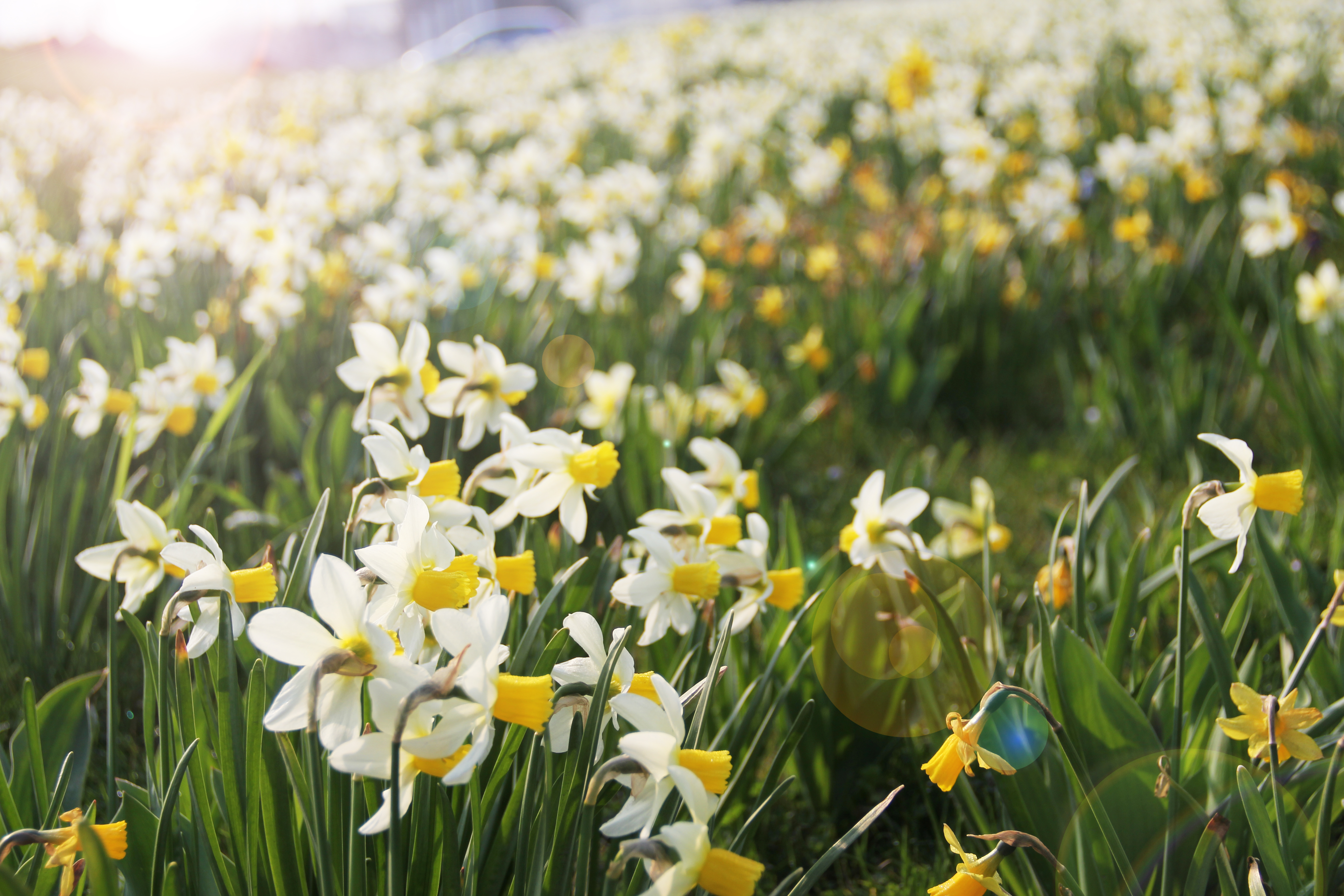 daffodils, Beauty, Meadow, Wild, Vibrant, HQ Photo