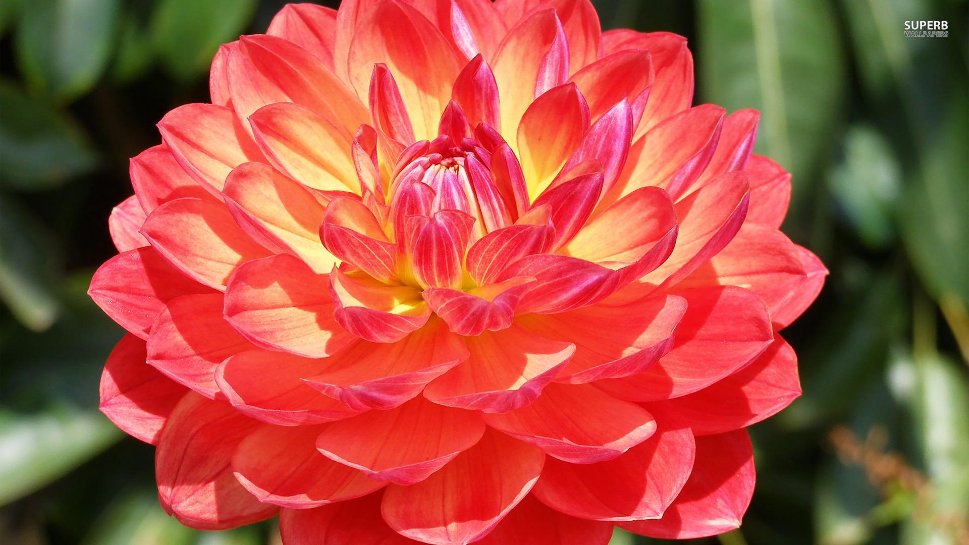 Free Photo Dahlia Flower Nature Orange Garden Free Download
