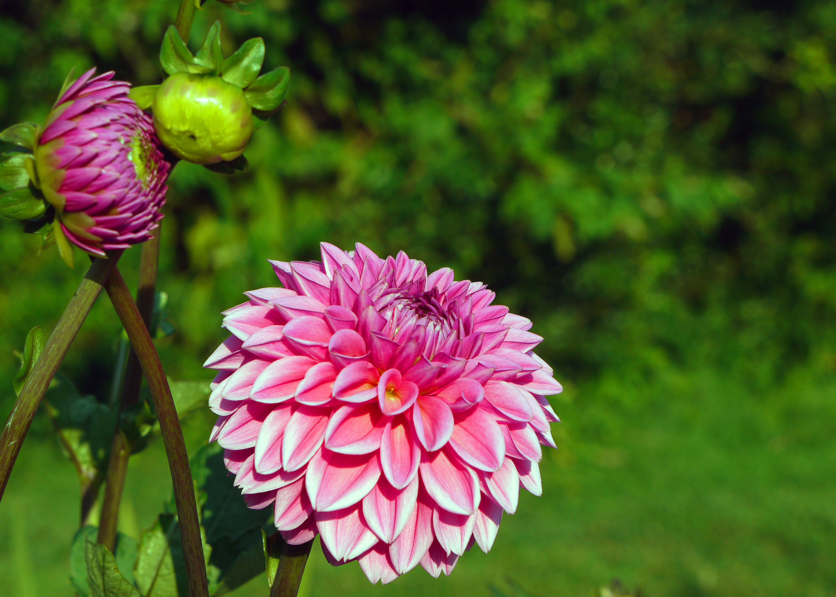 Free photo dahlia flowers pink summer plant free download dahlia flowers izmirmasajfo