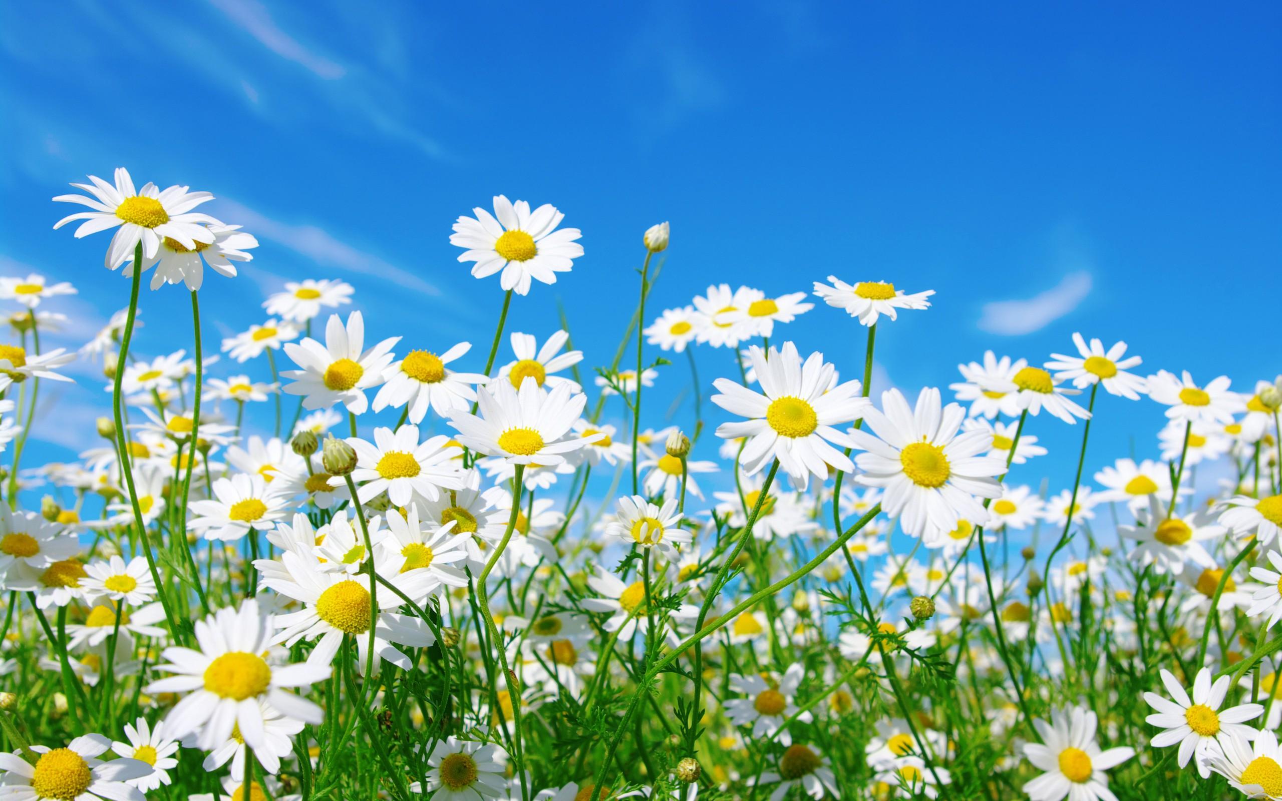 Flowers: Beautiful Green Field Pretty Daisies Sky Flowers Clouds ...