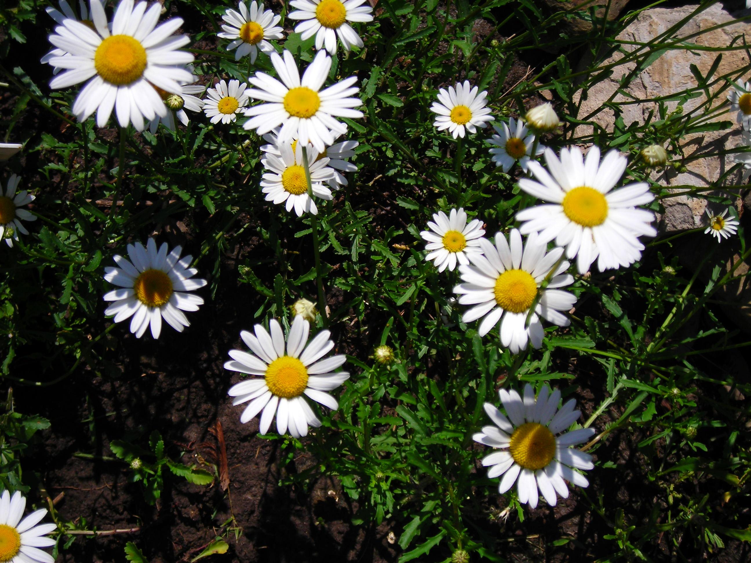 Wild daisies are sweet garden flower for Western New York - Buffalo ...
