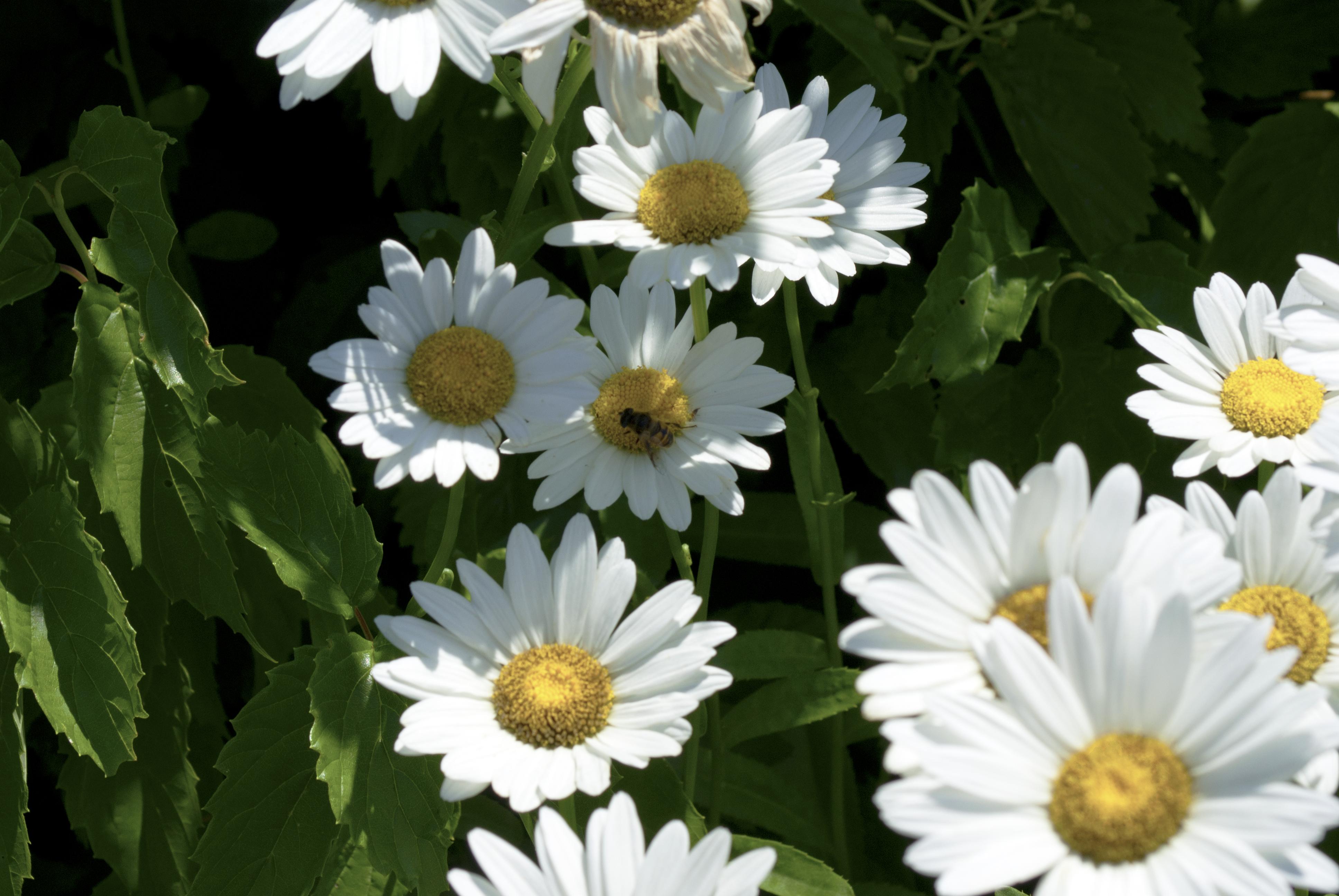 Daisies photo