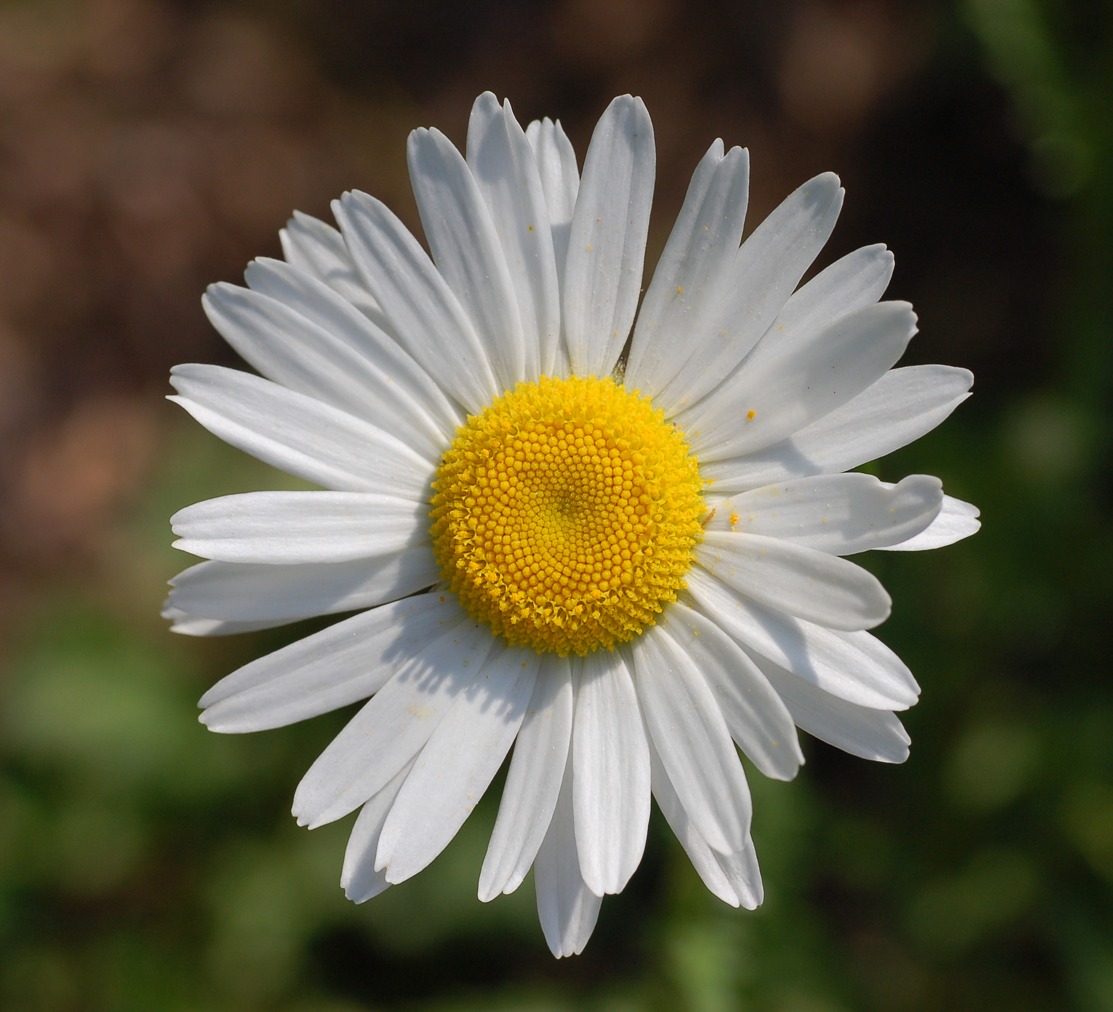 Daisy photo