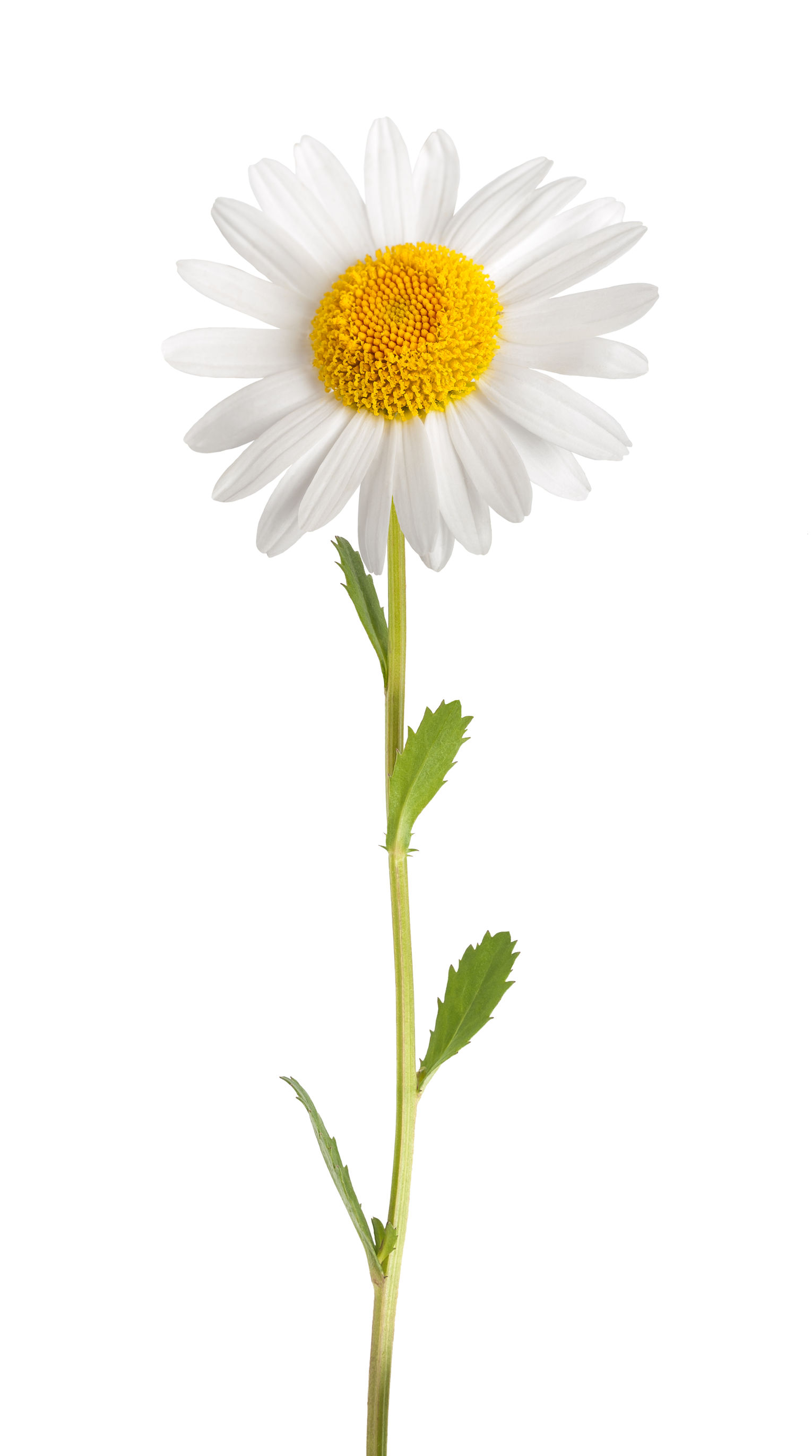 The Power of Daisy Flower Extract
