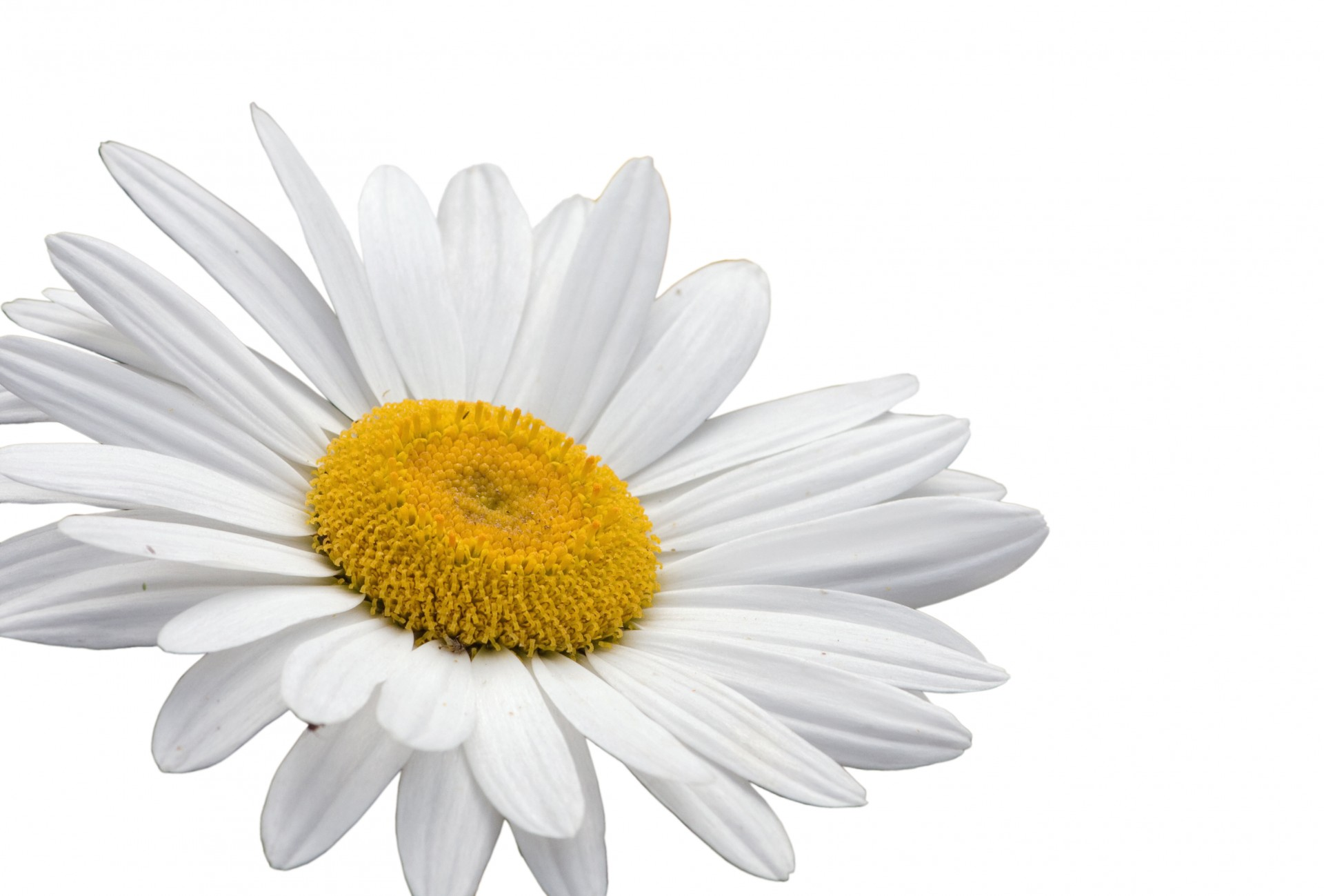 white daisy flower png flowers healthy