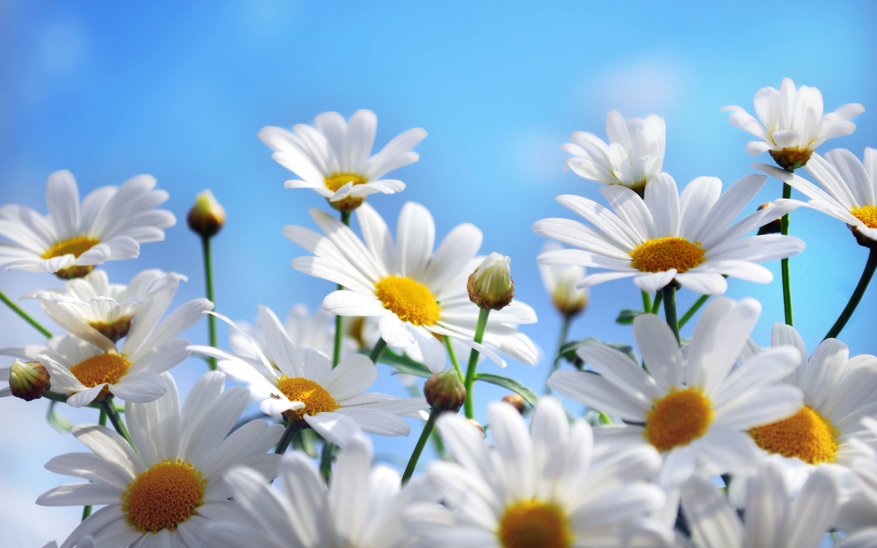 Daisy Flower Wallpapers Mobile