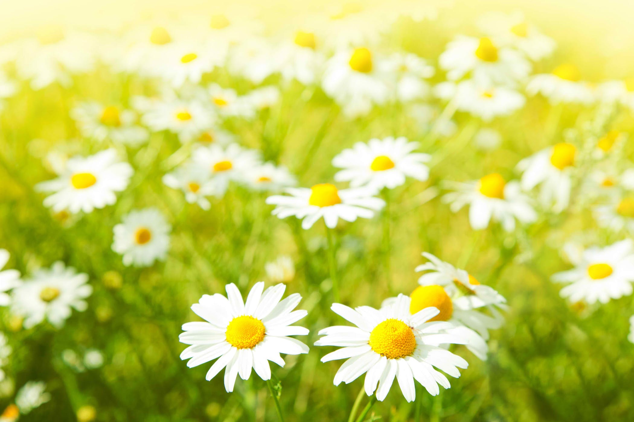 Daisy Poisoning in Cats - Symptoms, Causes, Diagnosis, Treatment ...