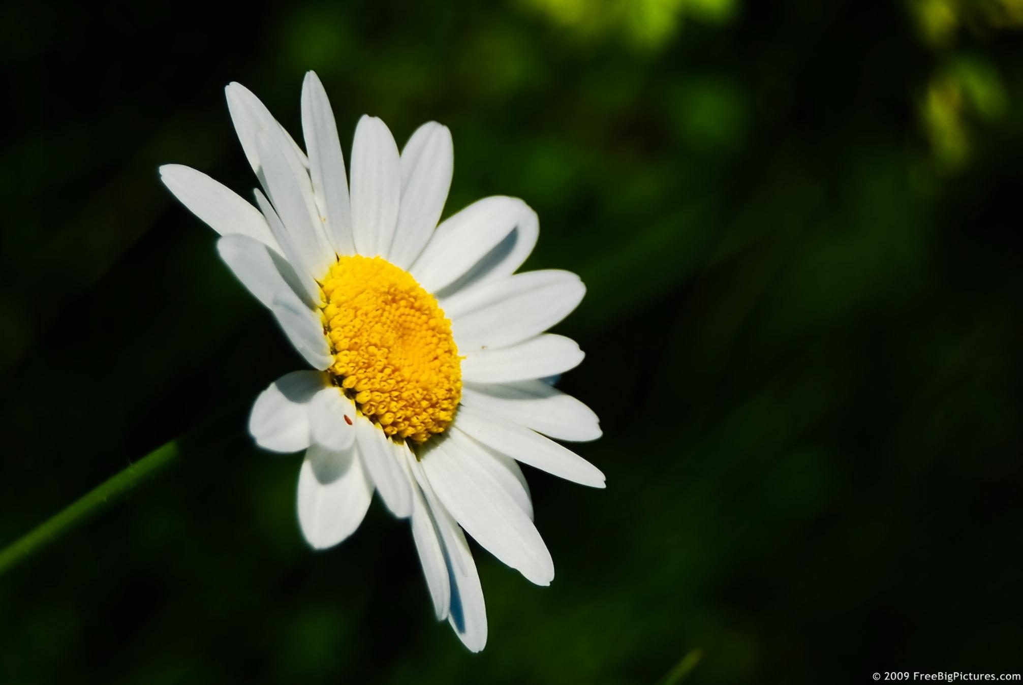 Free photo daisy flower white plants wild free download jooinn daisy flower izmirmasajfo