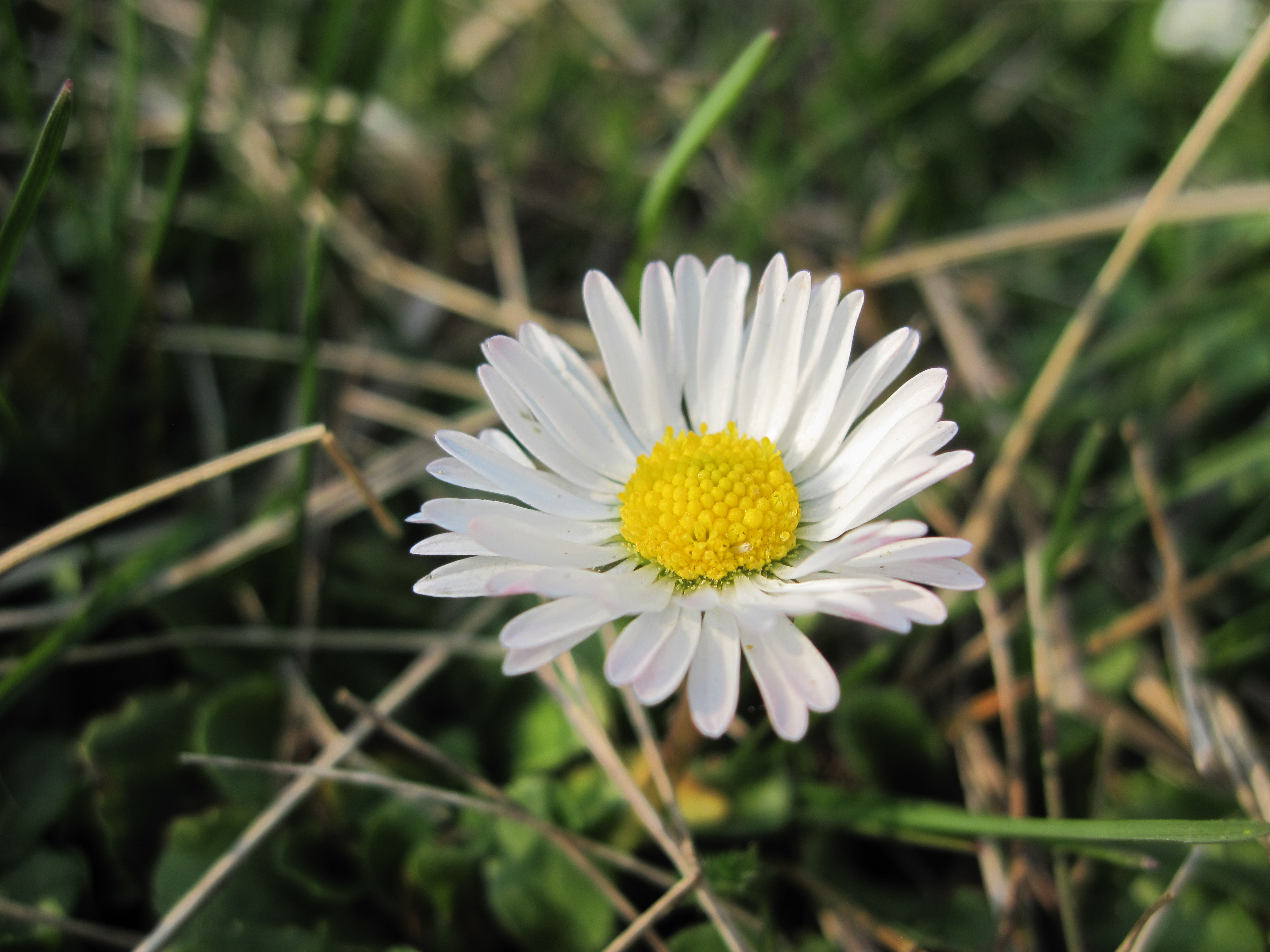 Daisy flower, White, Plants, Wild, Yellow, HQ Photo