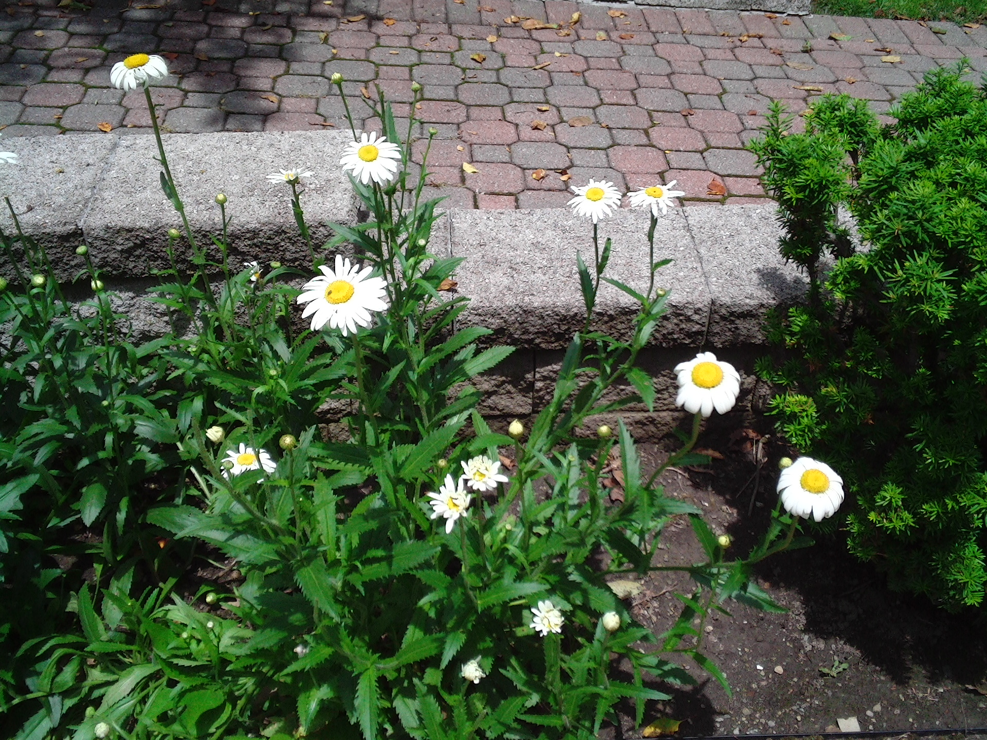 Free Photo Daisy Garden Garden Flowers Daisies Free Download