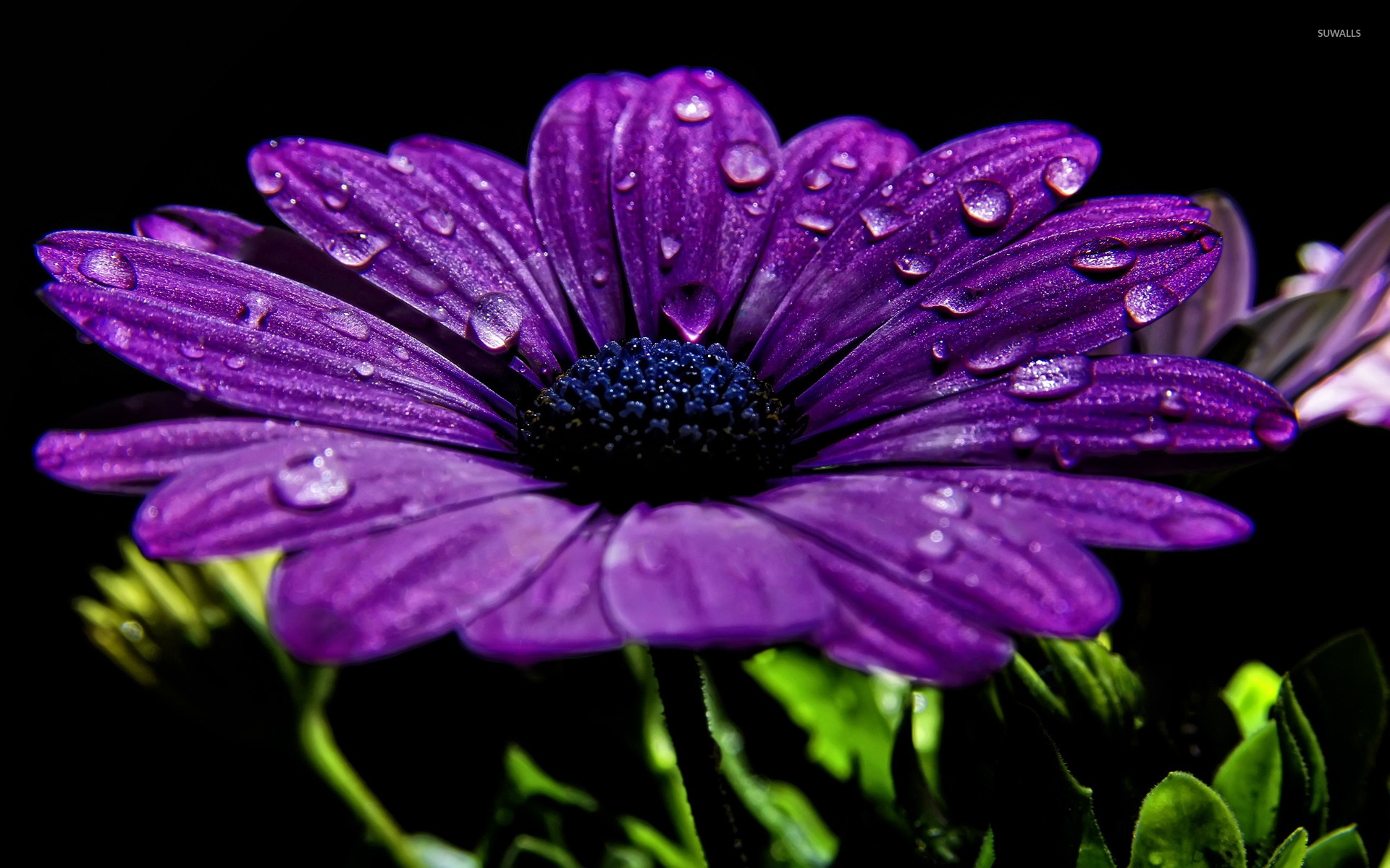 Free Photo Daisy Purple Flower Pedals Nature Plant Free