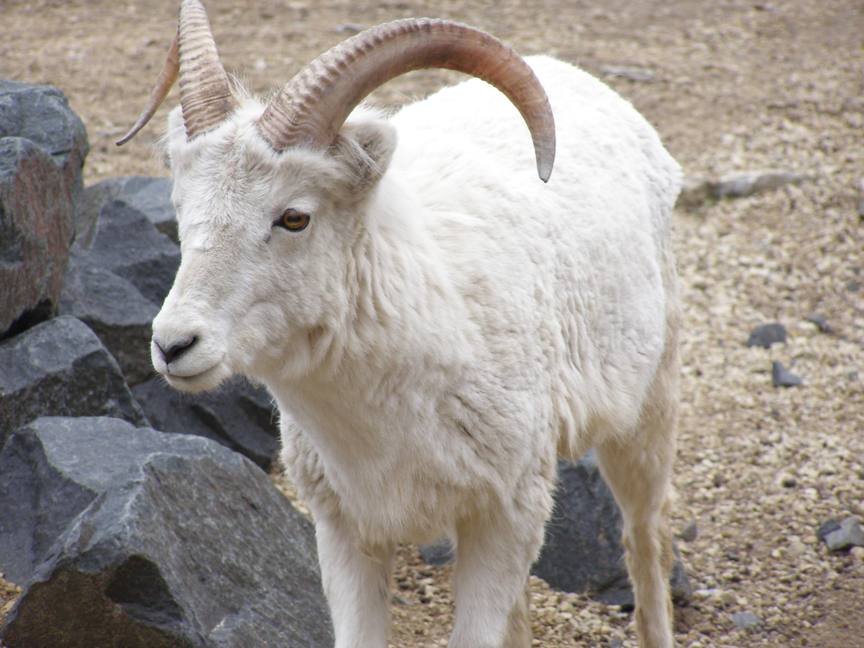 Dall's Sheep - Como Park Zoo and Conservatory Como Park Zoo and ...