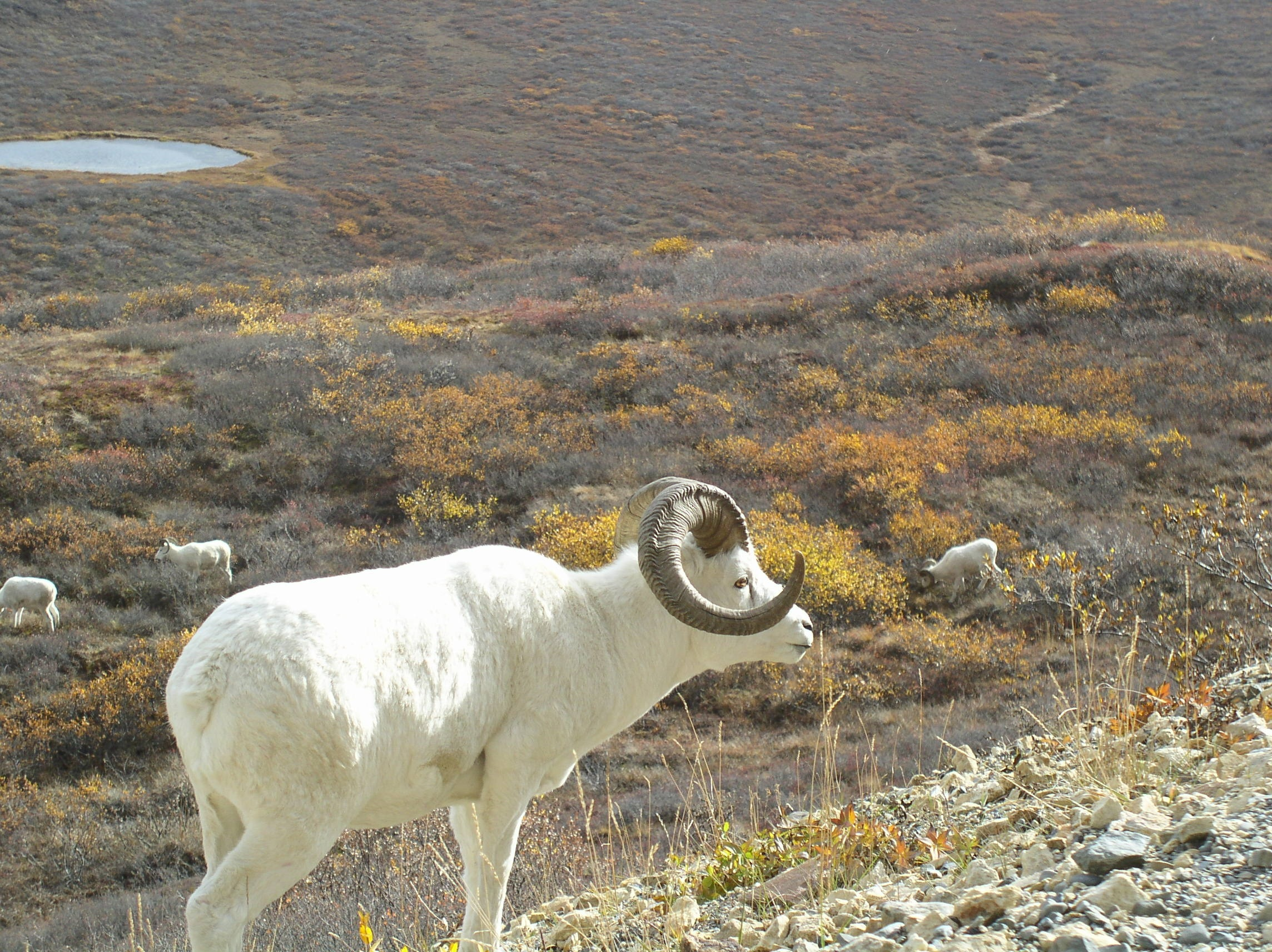 Dall Sheep, White, Wild, Sheep, Nature, HQ Photo