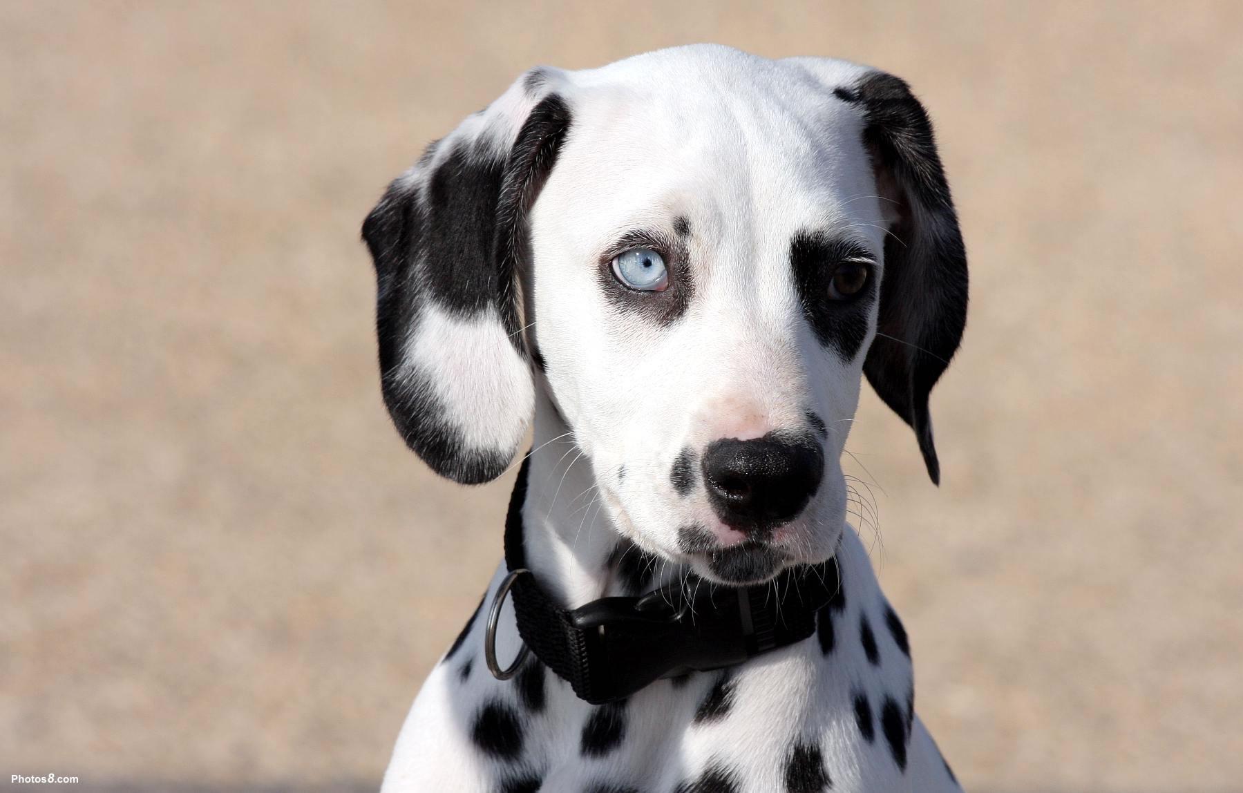 Dalmatian with heterochromia - My Doggy Rocks