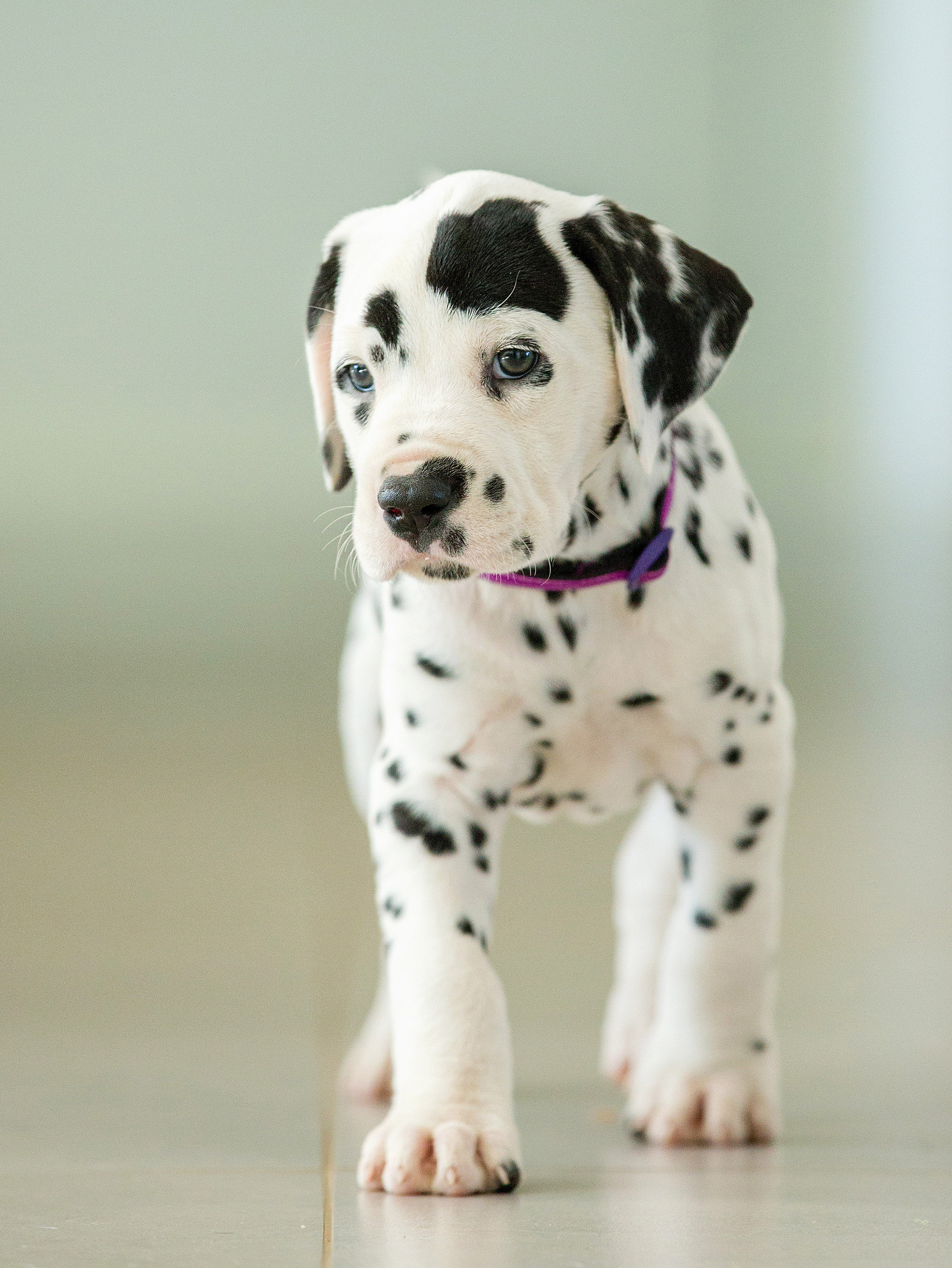 Dalmatian mom sets new record in Australia with her litter of pups ...