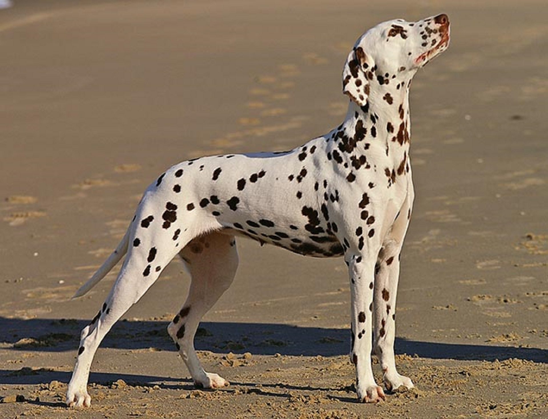 Dalmatian, Animal, Dalmation, Dog, Friend, HQ Photo
