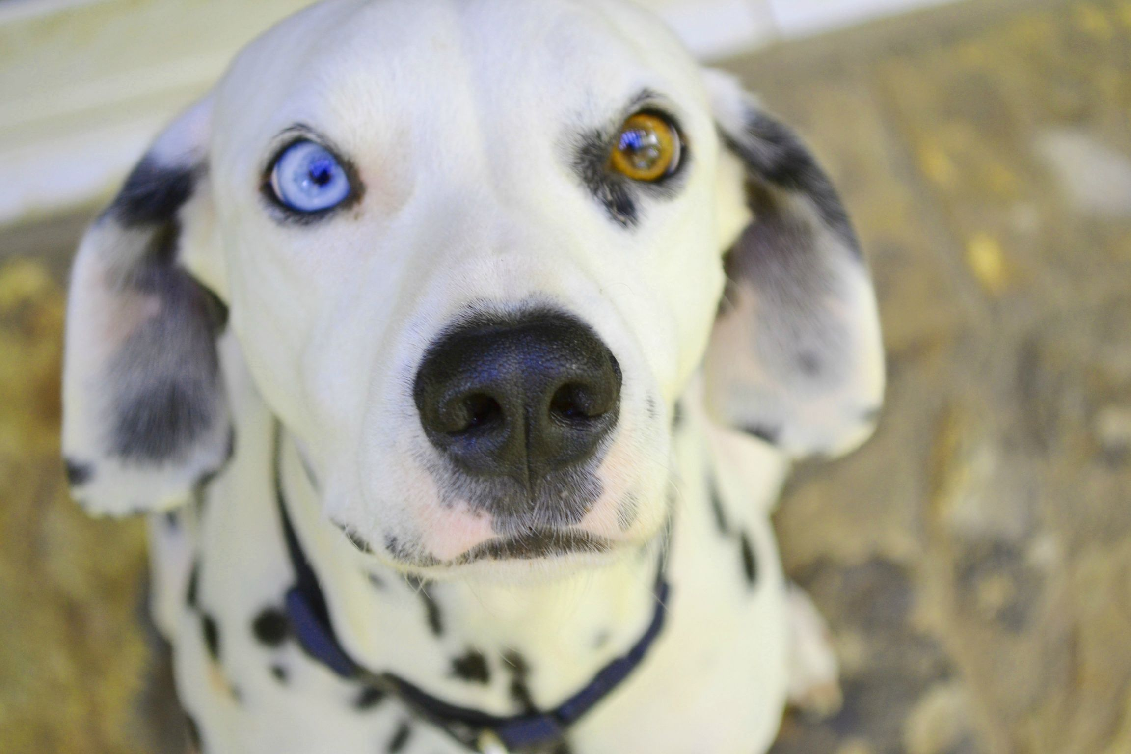 I'm pretty sure my dalmatian Lily belongs here...   Beautiful eyes ...