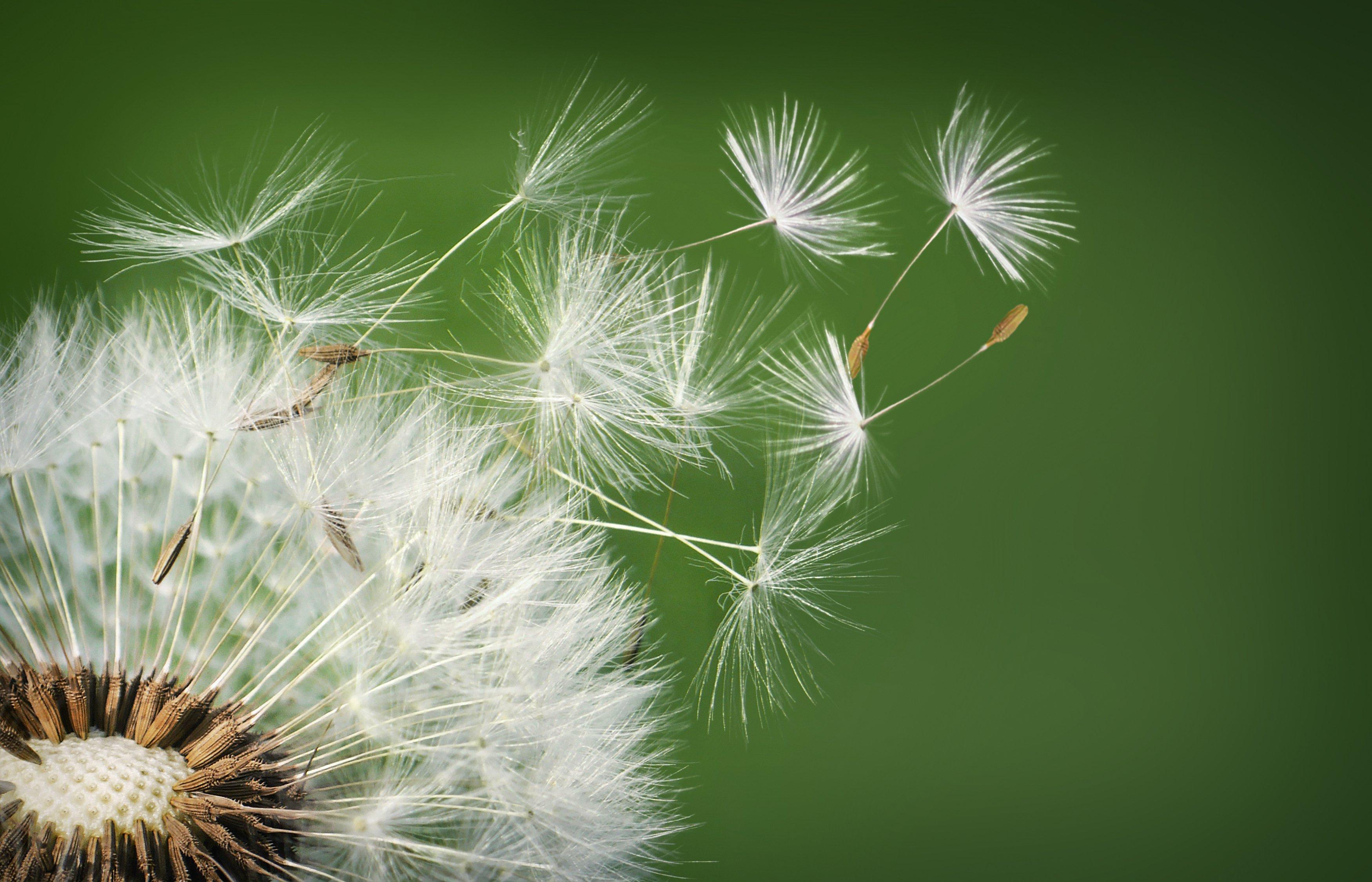 free photo dandelion hd wallpaper plant flower free download