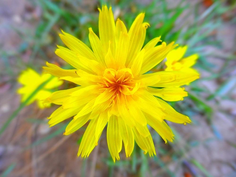 Dandelion, Closeup, Flower, Yellow, HQ Photo