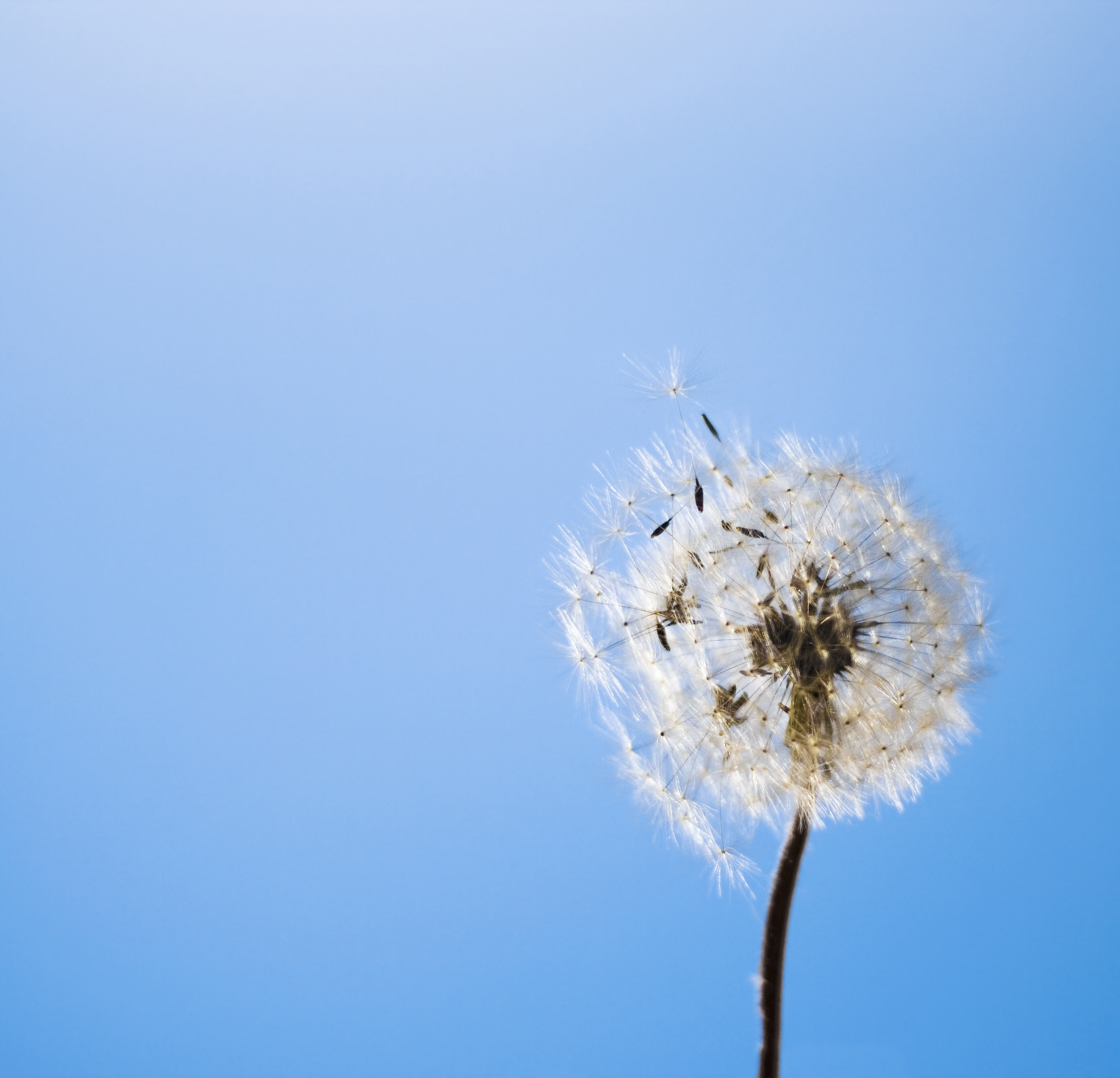 dandelion, Abstract, Head, White, Up, HQ Photo