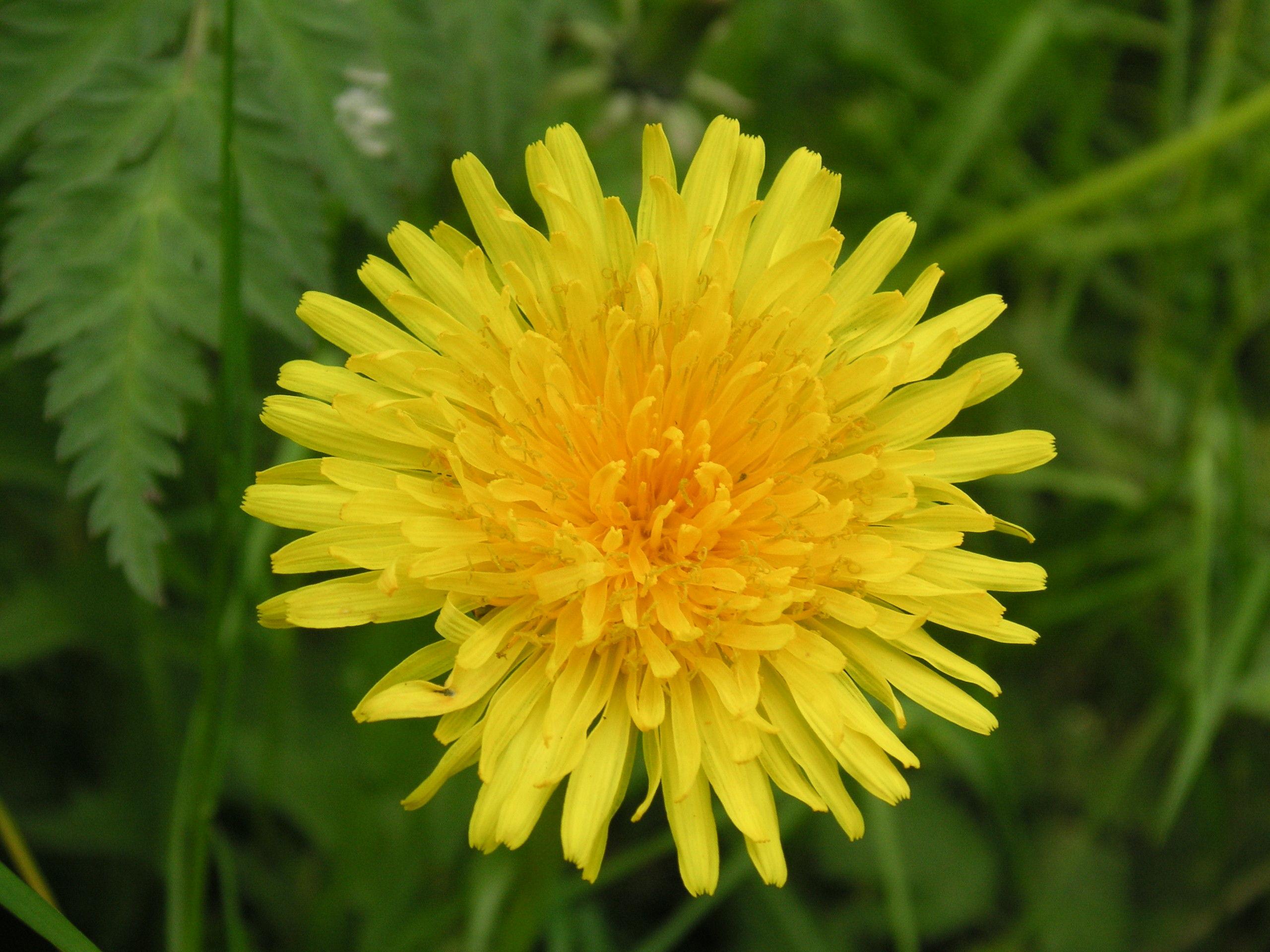 Dandelion Benefits - Be Well Buzz