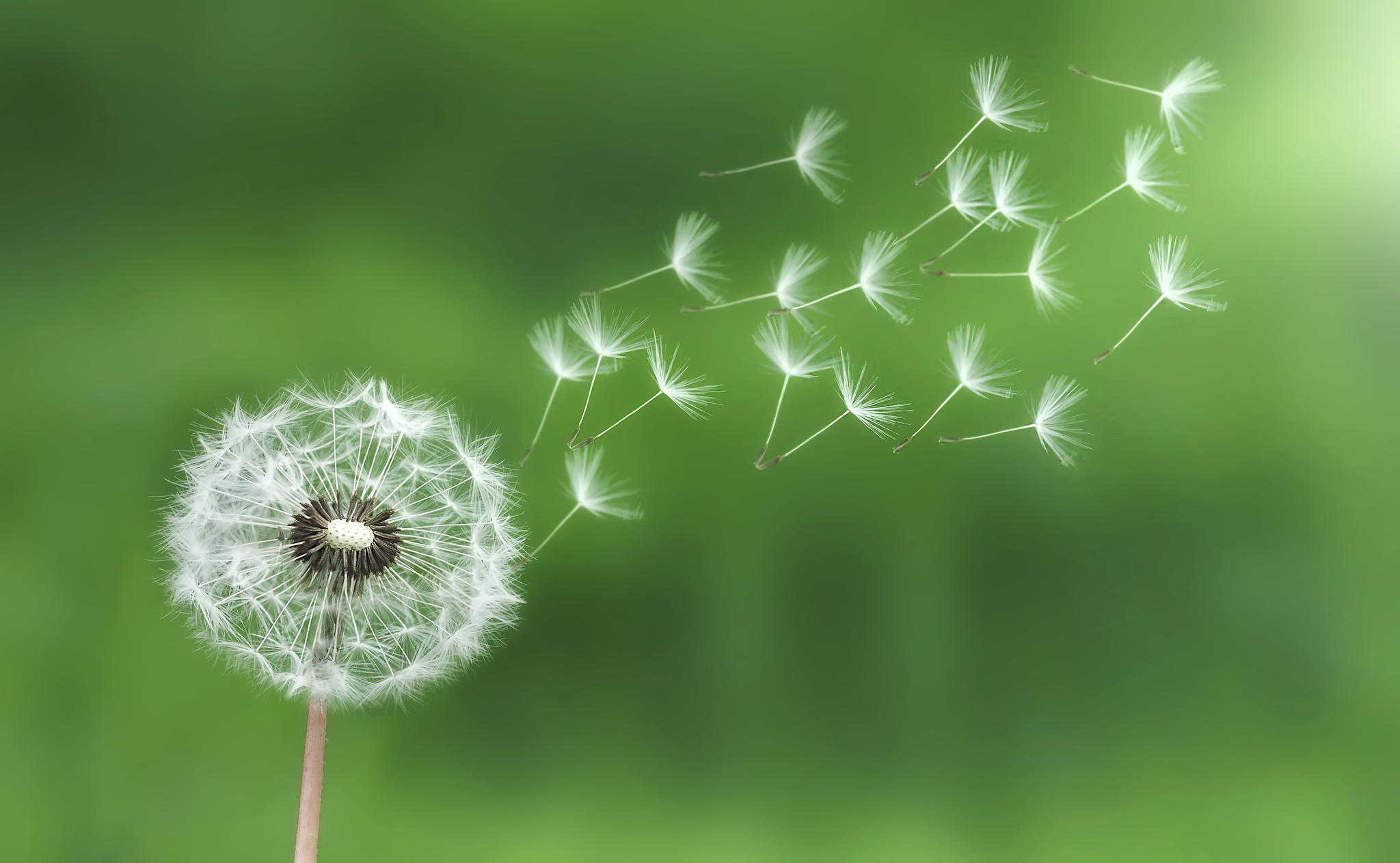 More studies on Dandelion Root Immune Boosting and Anti-Cancer ...