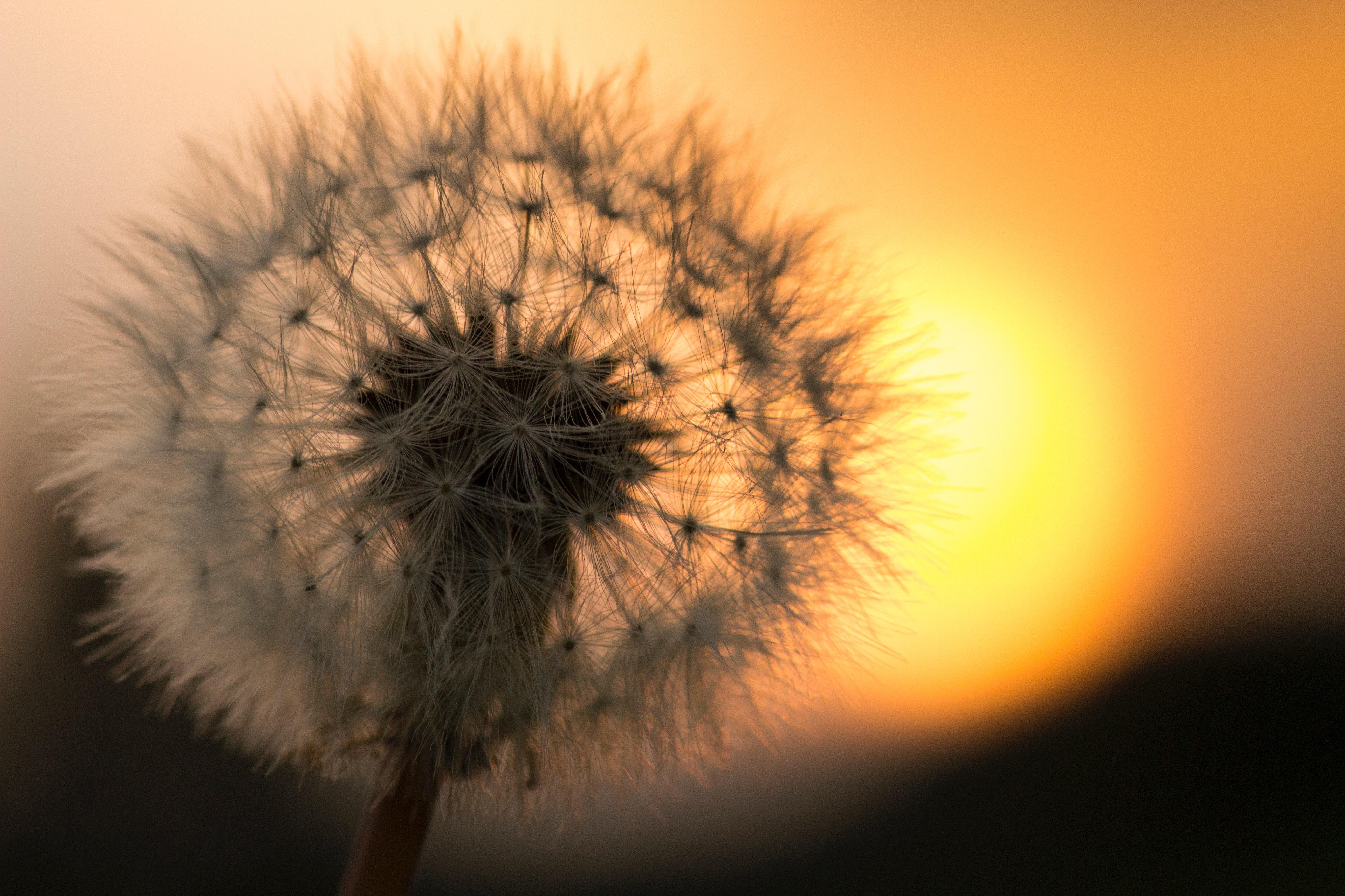 free photo: dandelion flower - hd wallpaper, macro, sunrise - free