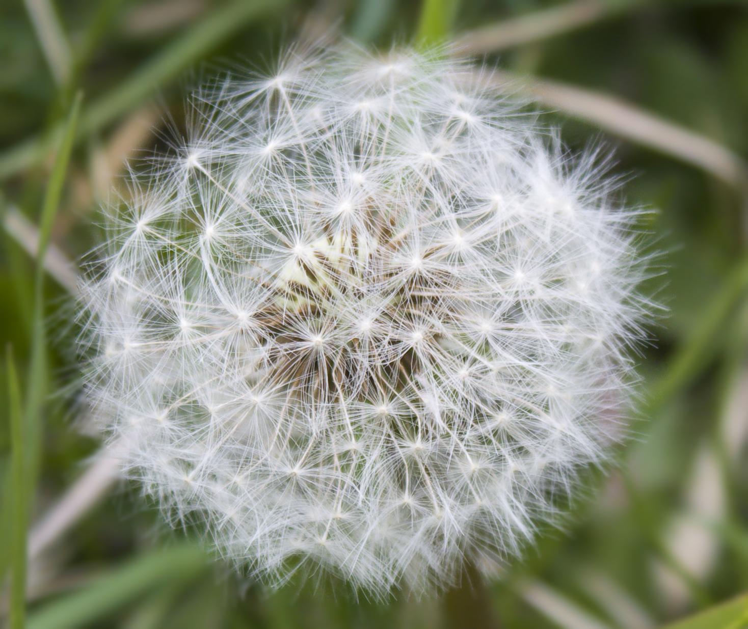 Dandelion flower in the wilderness photo