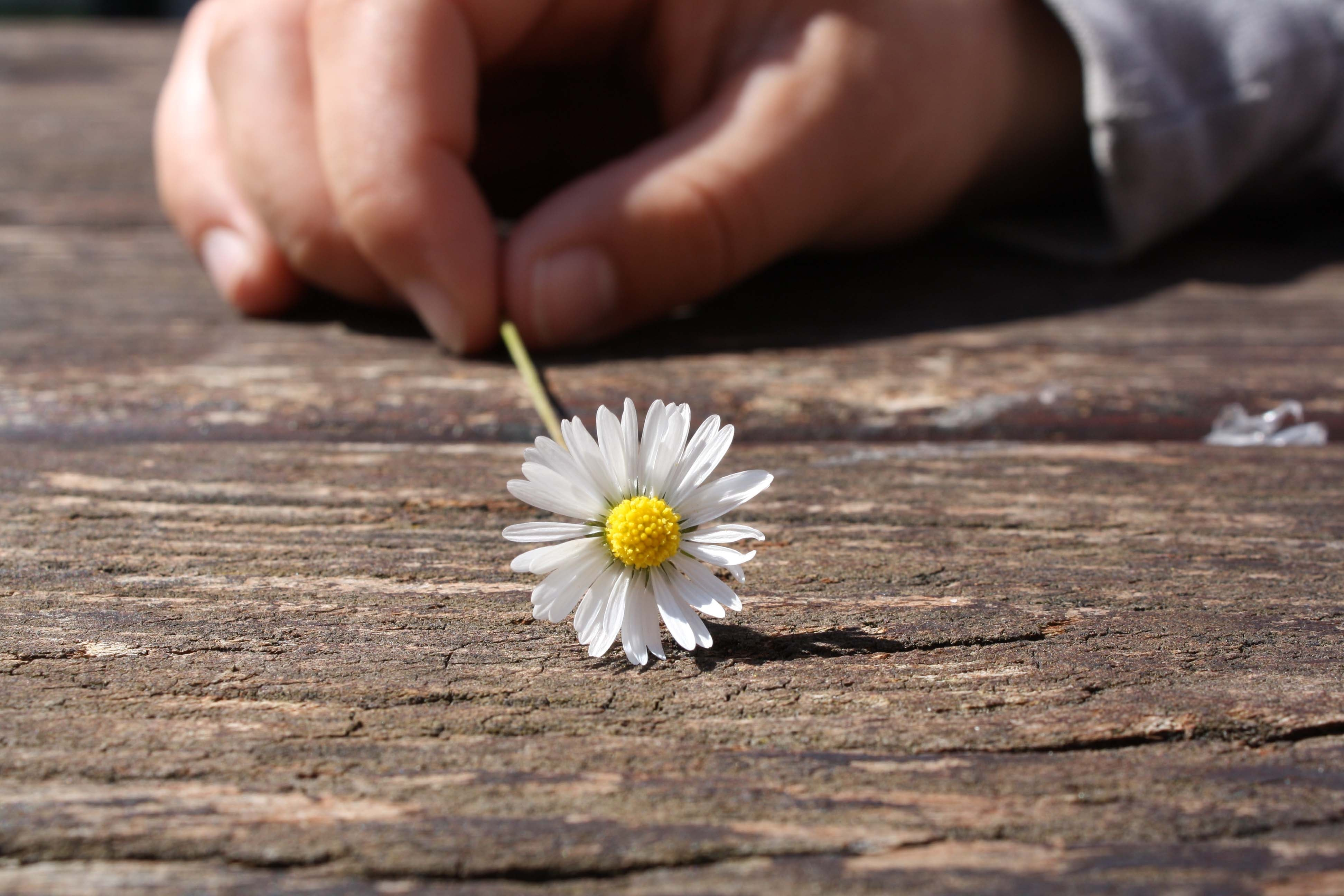 Dandelion Flower on Brown Wooden Table, Bloom, Blossom, Daisy, Flora, HQ Photo