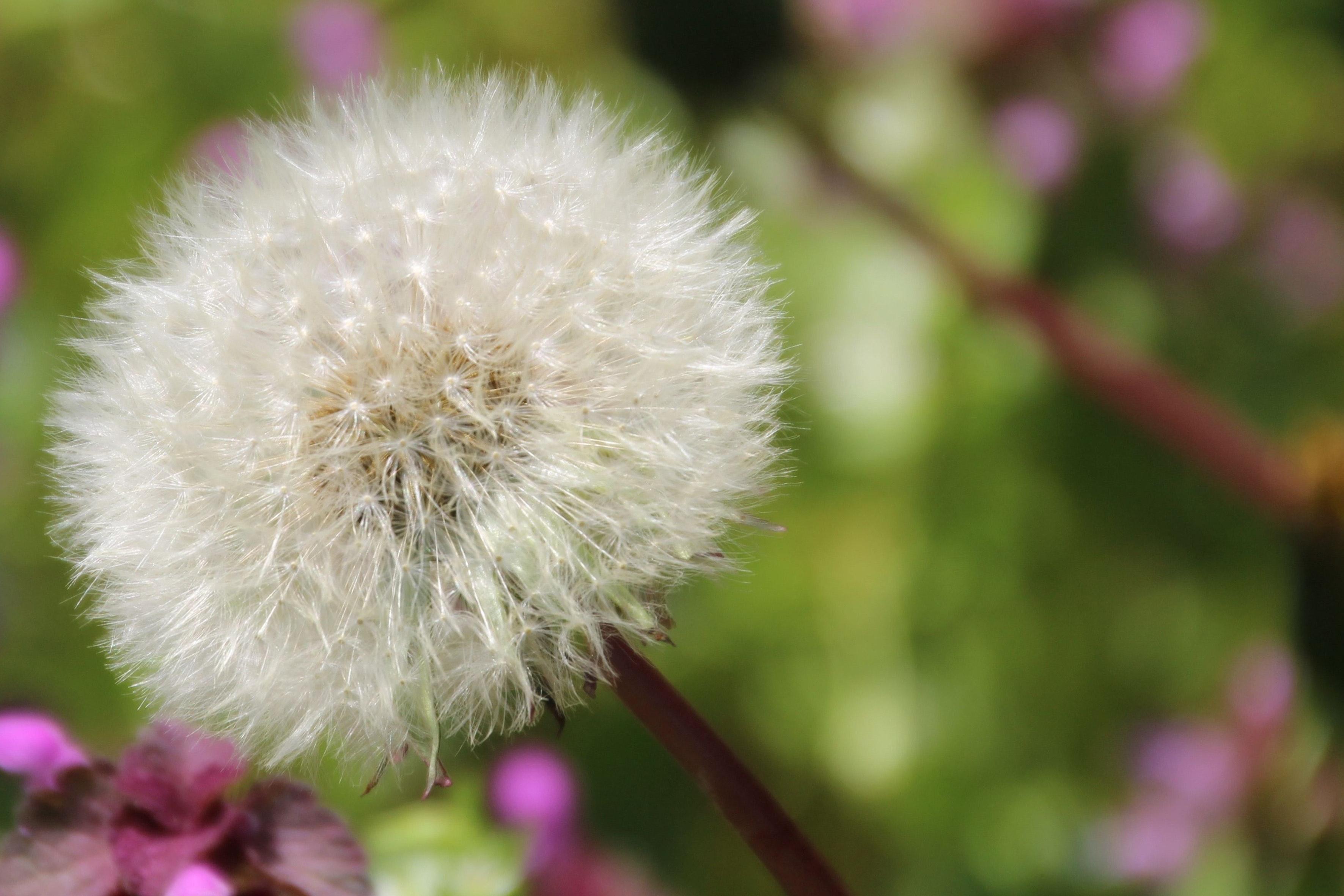 Dandelion in macro shot photography