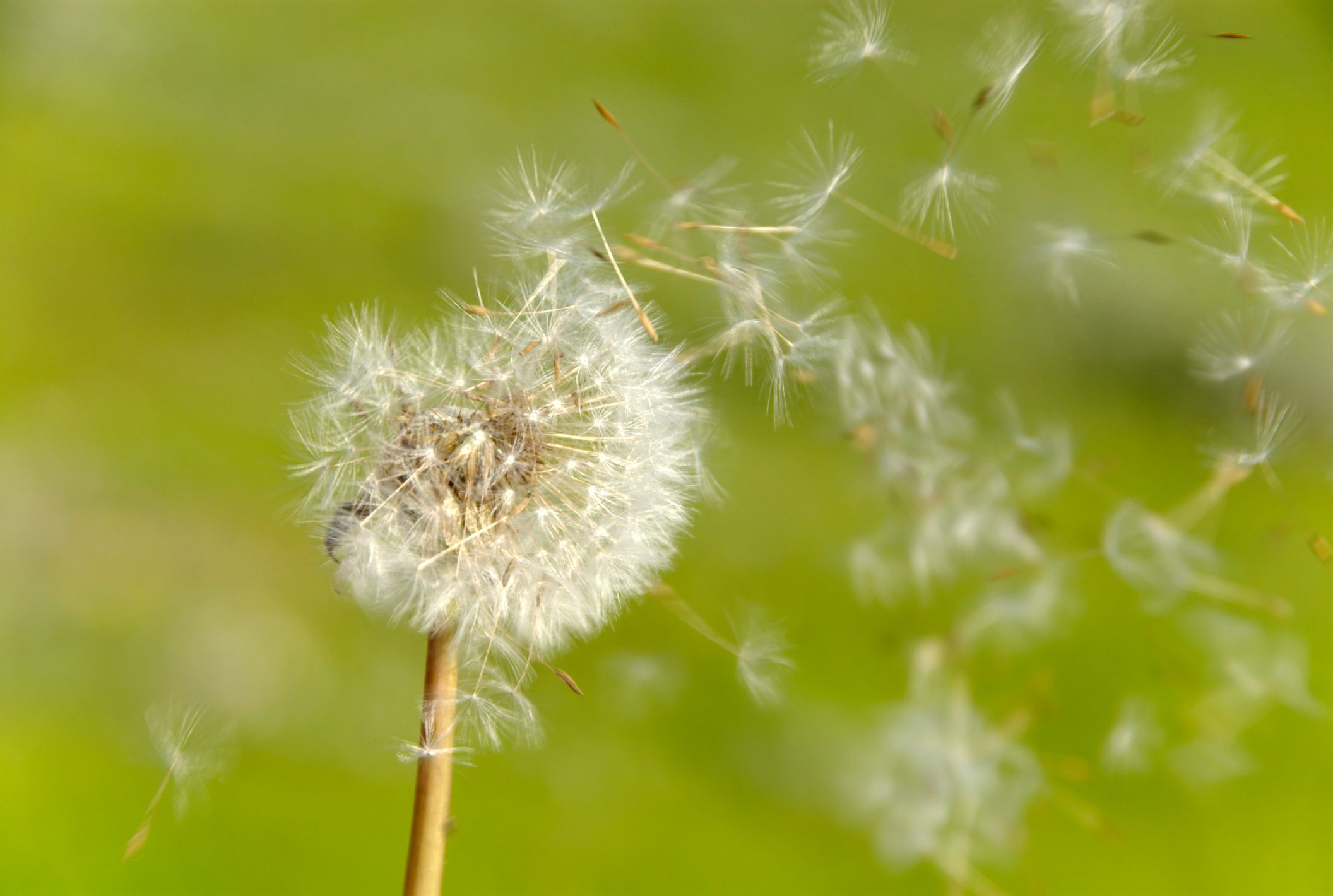 How to Remove or Kill Dandelions