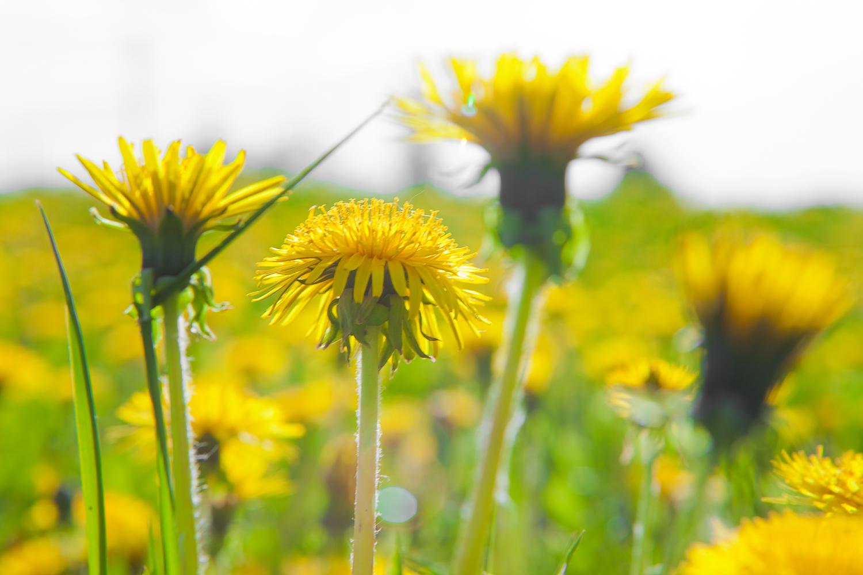 Dandelions, prirodni lijek za suljeve