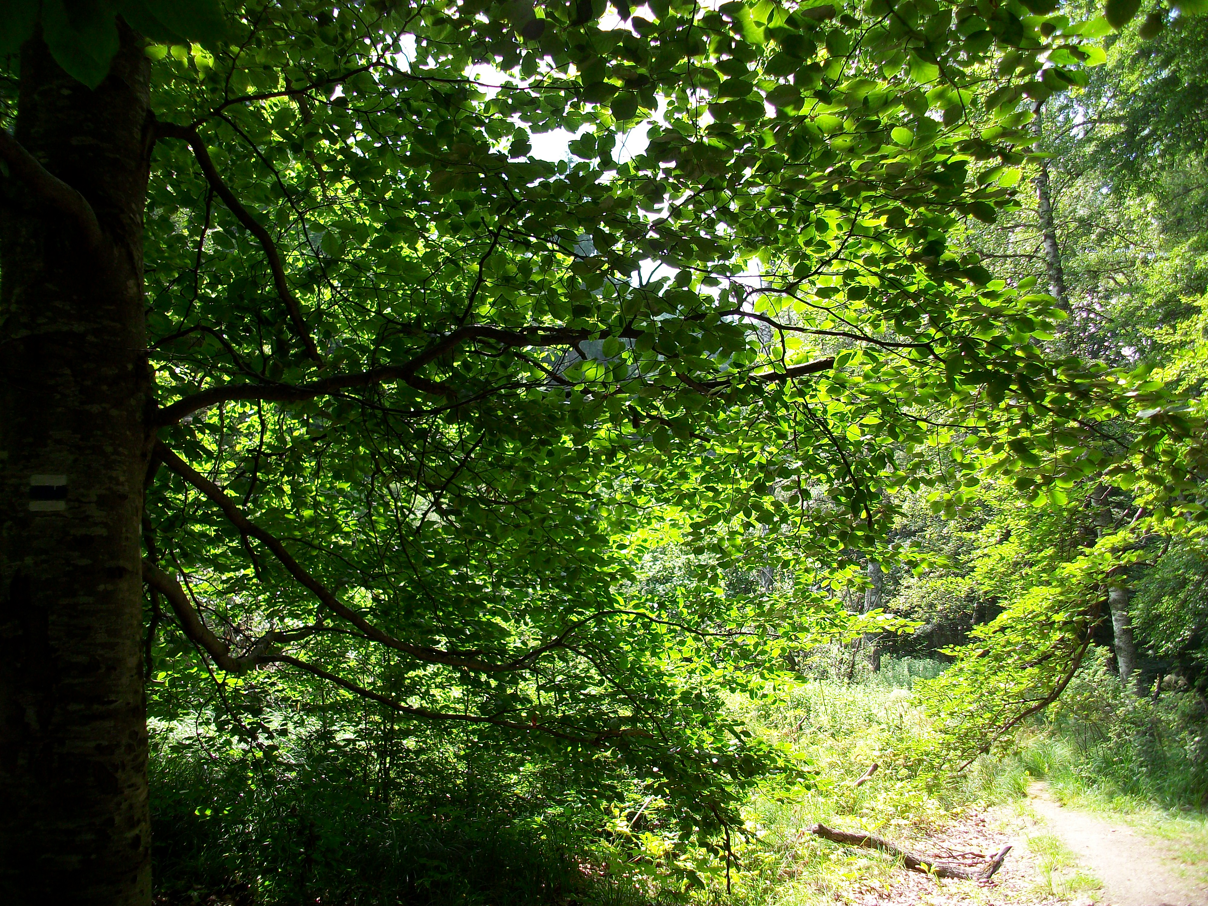 Dappled Shade, sunlight, trees, vitosha, shadow, HQ Photo