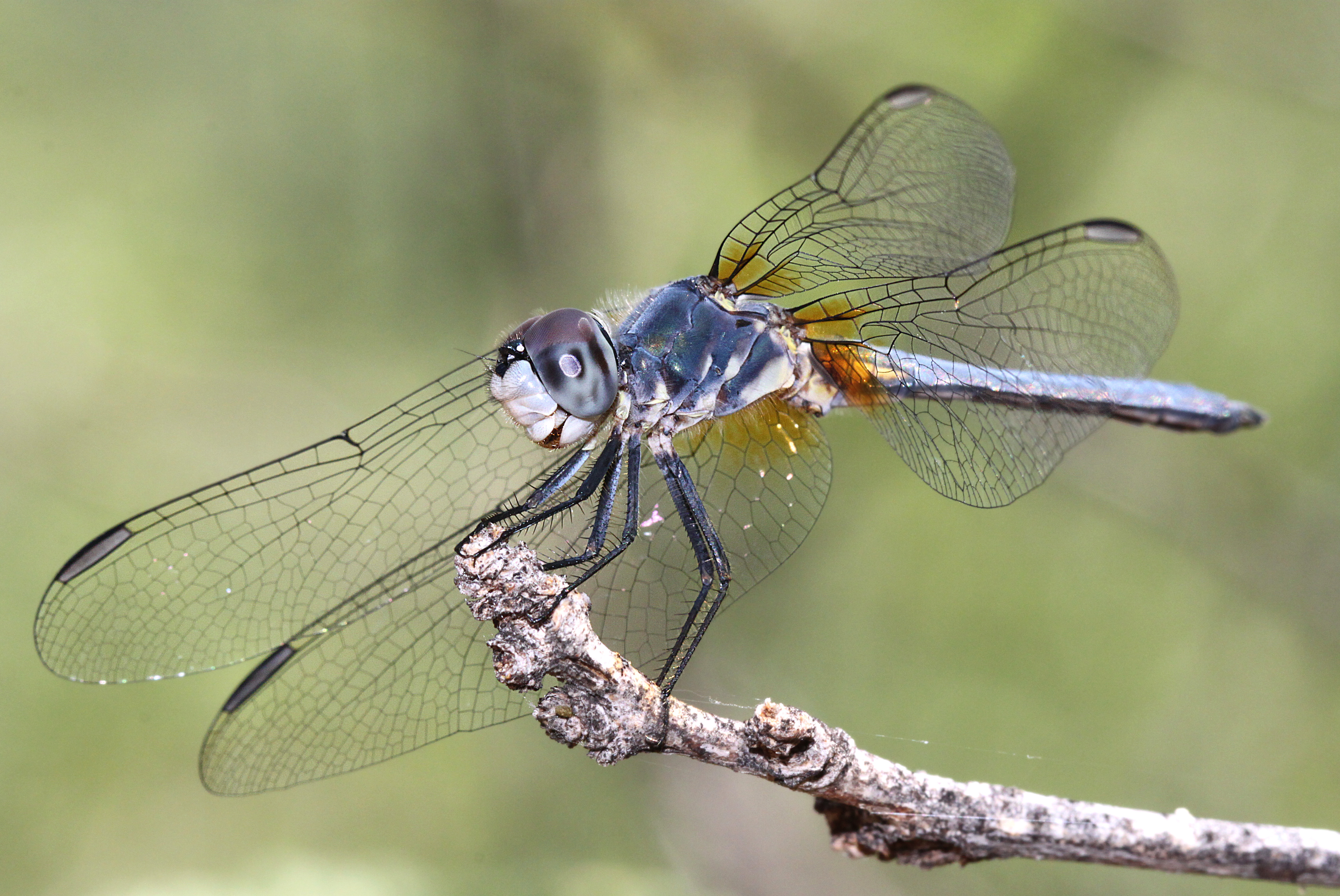 DASHER, BLUE (Pachydiplax longipennis) (7-9-12) male, patagonia lake, scc, az -01, Animal, Dragonfly, Insect, Macro, HQ Photo