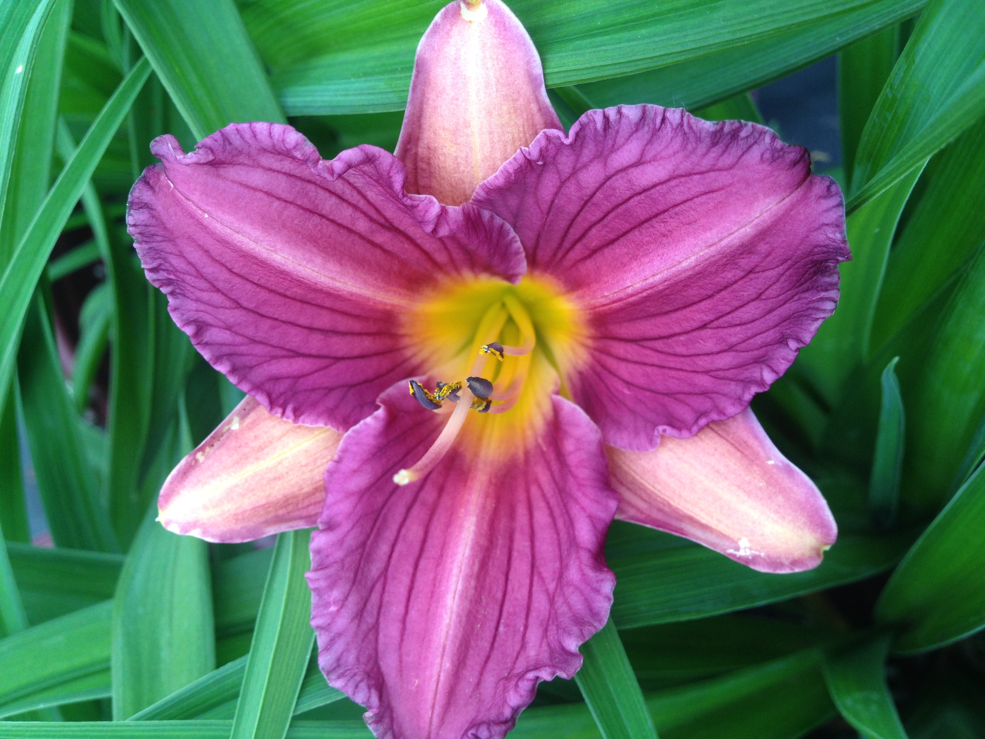 Day lily photo