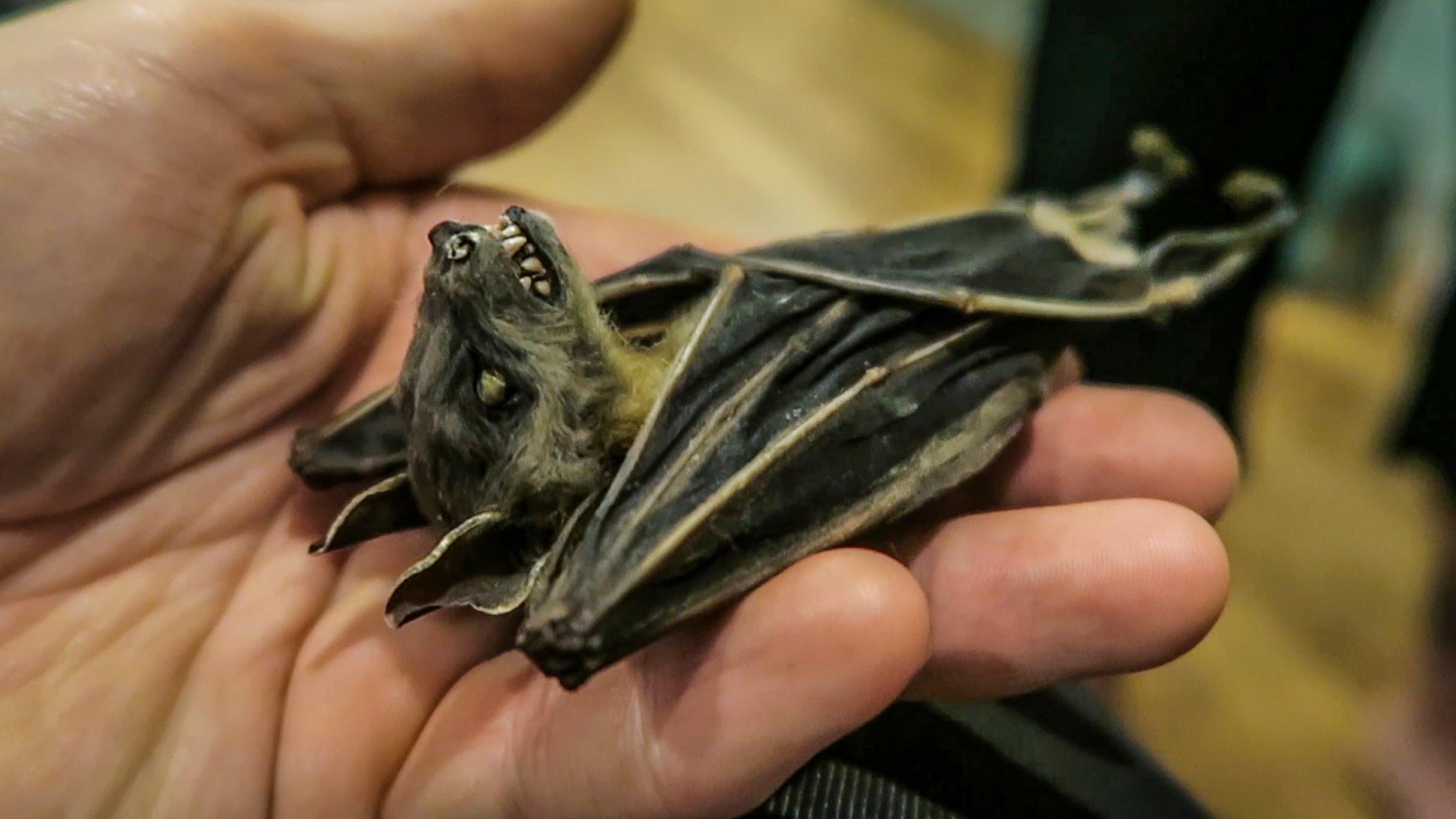 Dead bat photo