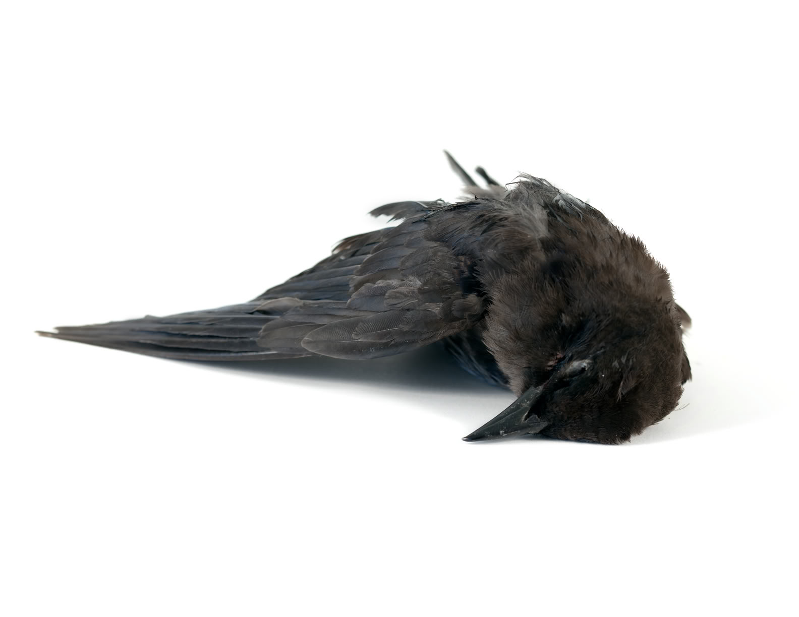 Dead blackbird photo