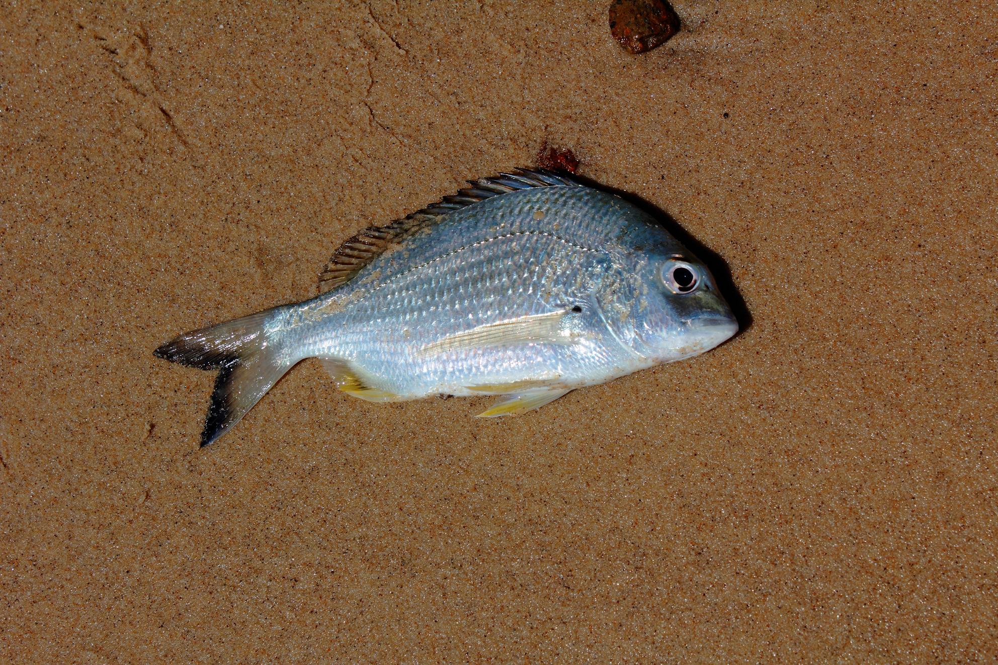 Dead fish on beach photo