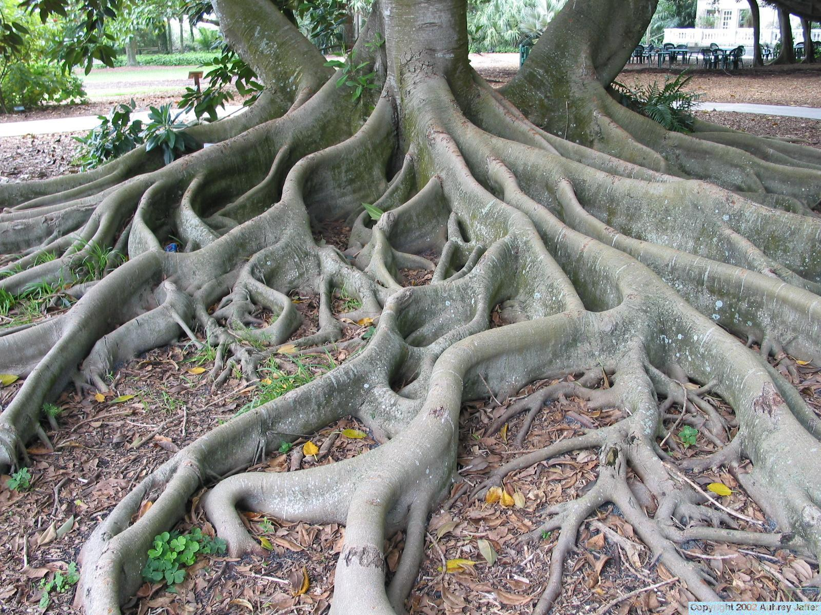 Vaporooter Australia » tree roots in pipes