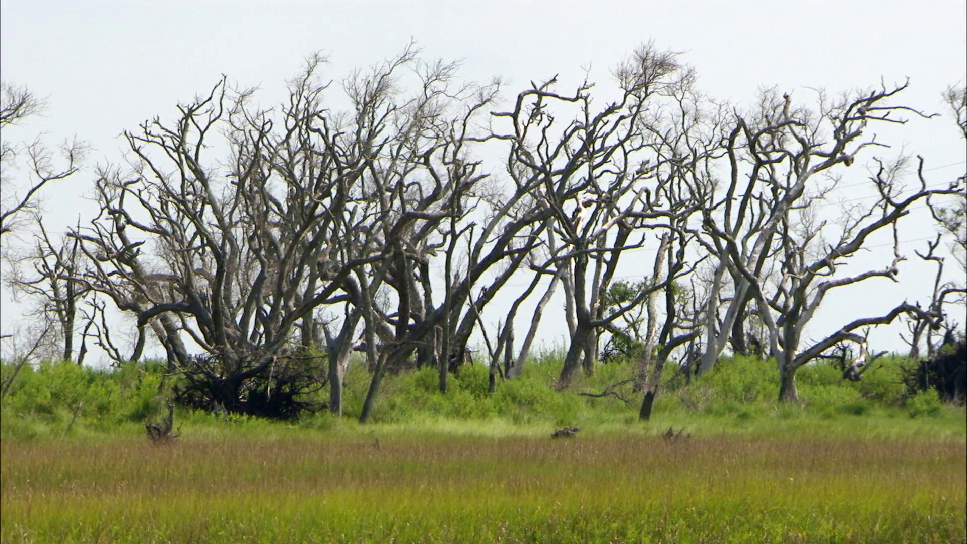 Louisiana Texas Marsh dead trees coastal erosion land loss stock ...