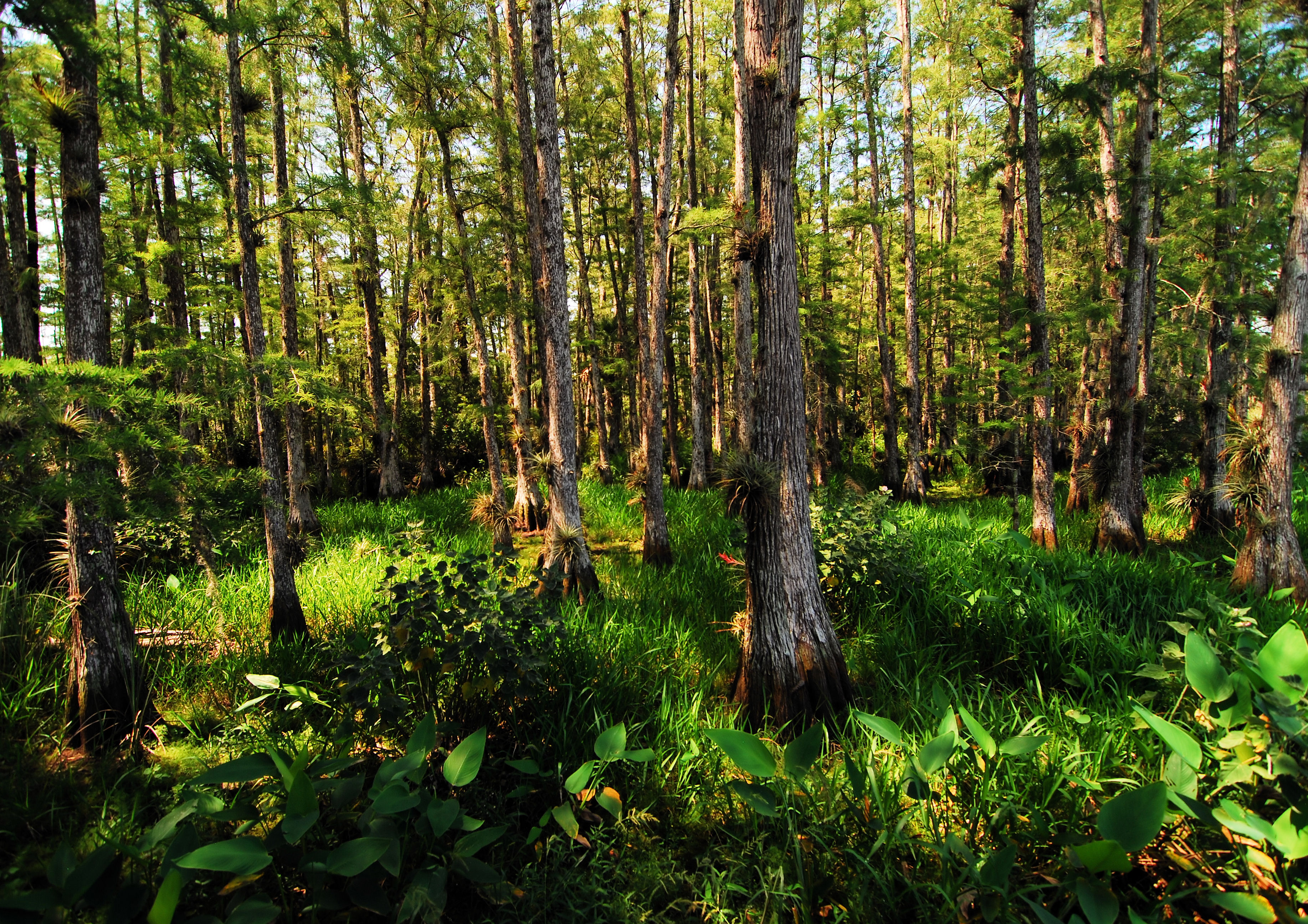 Deep Woods, Cypress, Florida, Forest, Green, HQ Photo