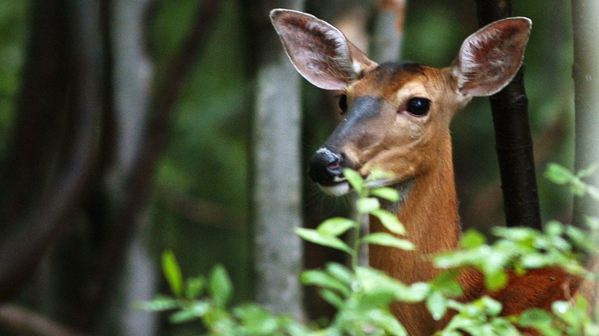 Gardening: Help! Deer are eating all of our plants - The Morning Call