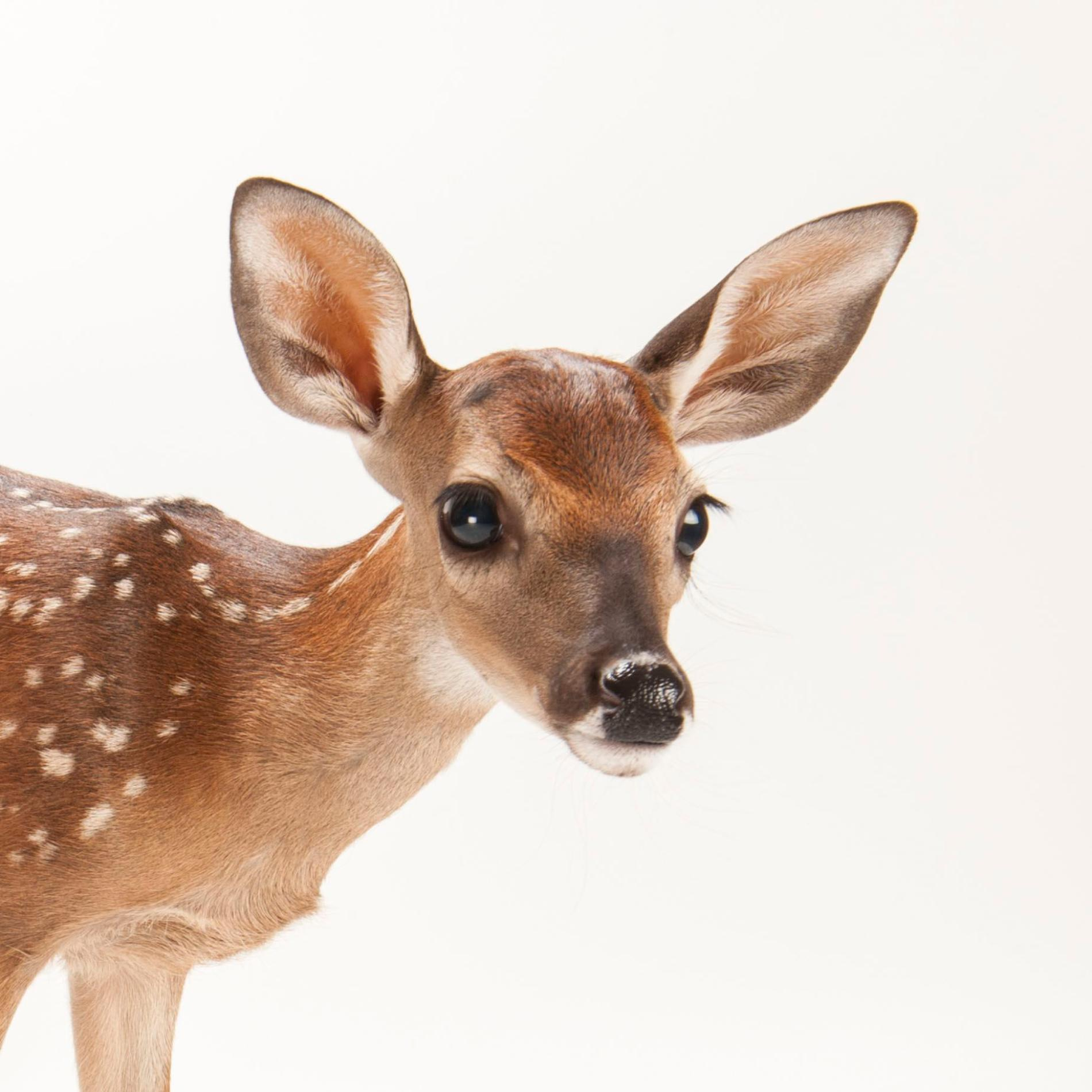 White-Tailed Deer | National Geographic