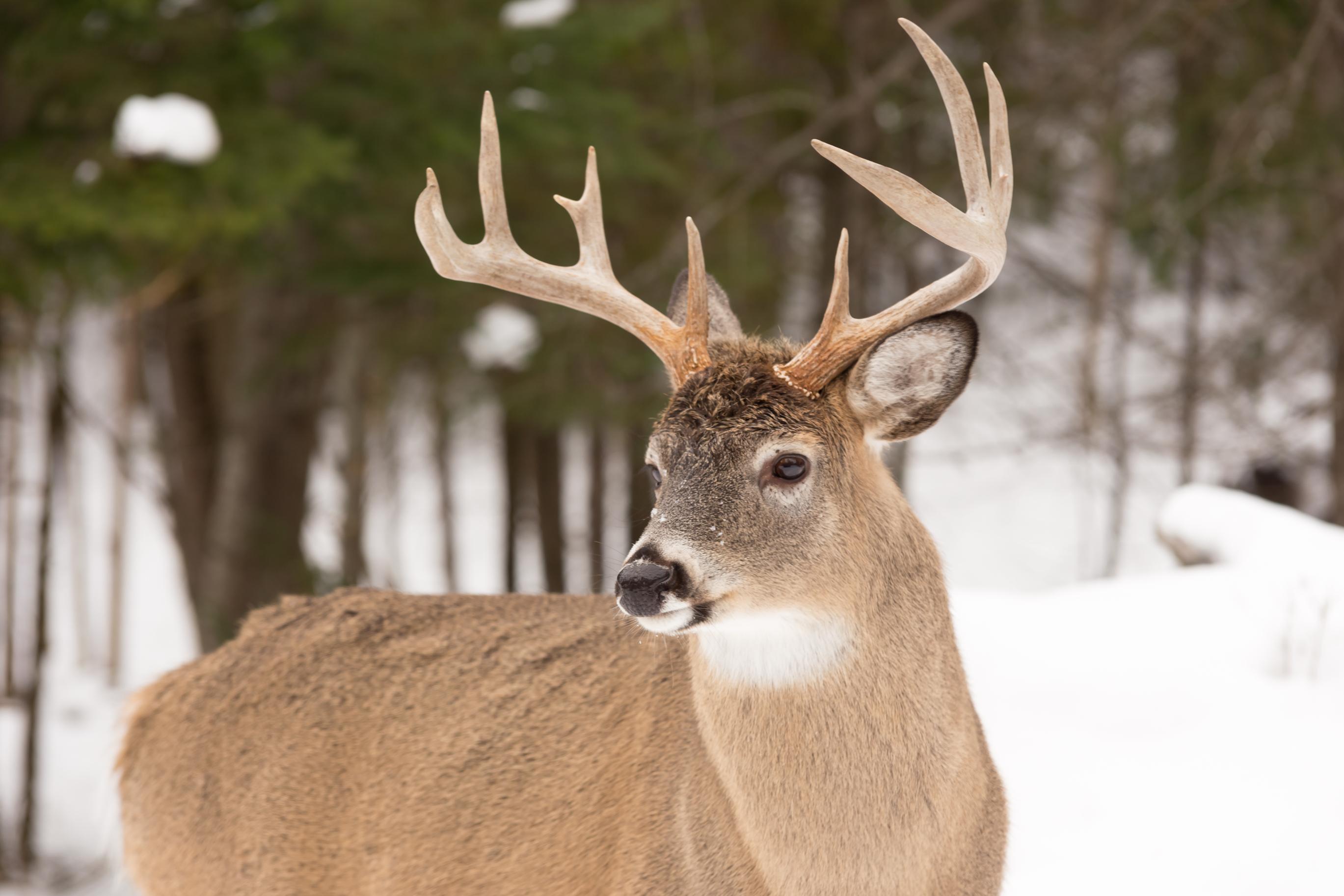 Dream of Deer