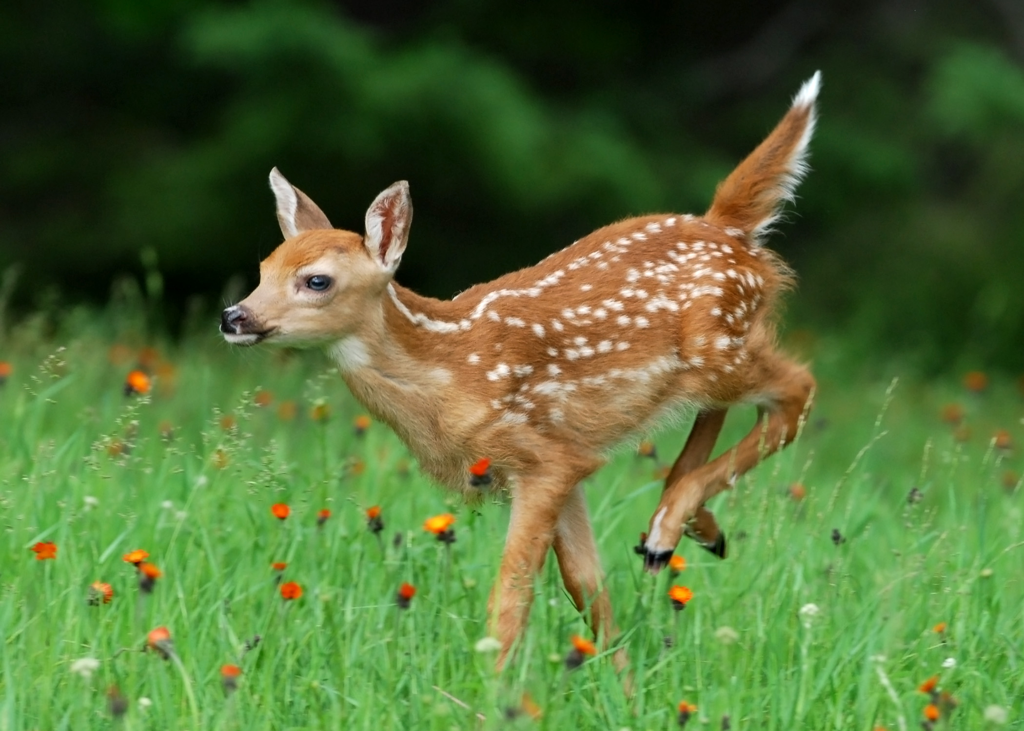 White-tailed Deer – Mike Lentz Nature Photography