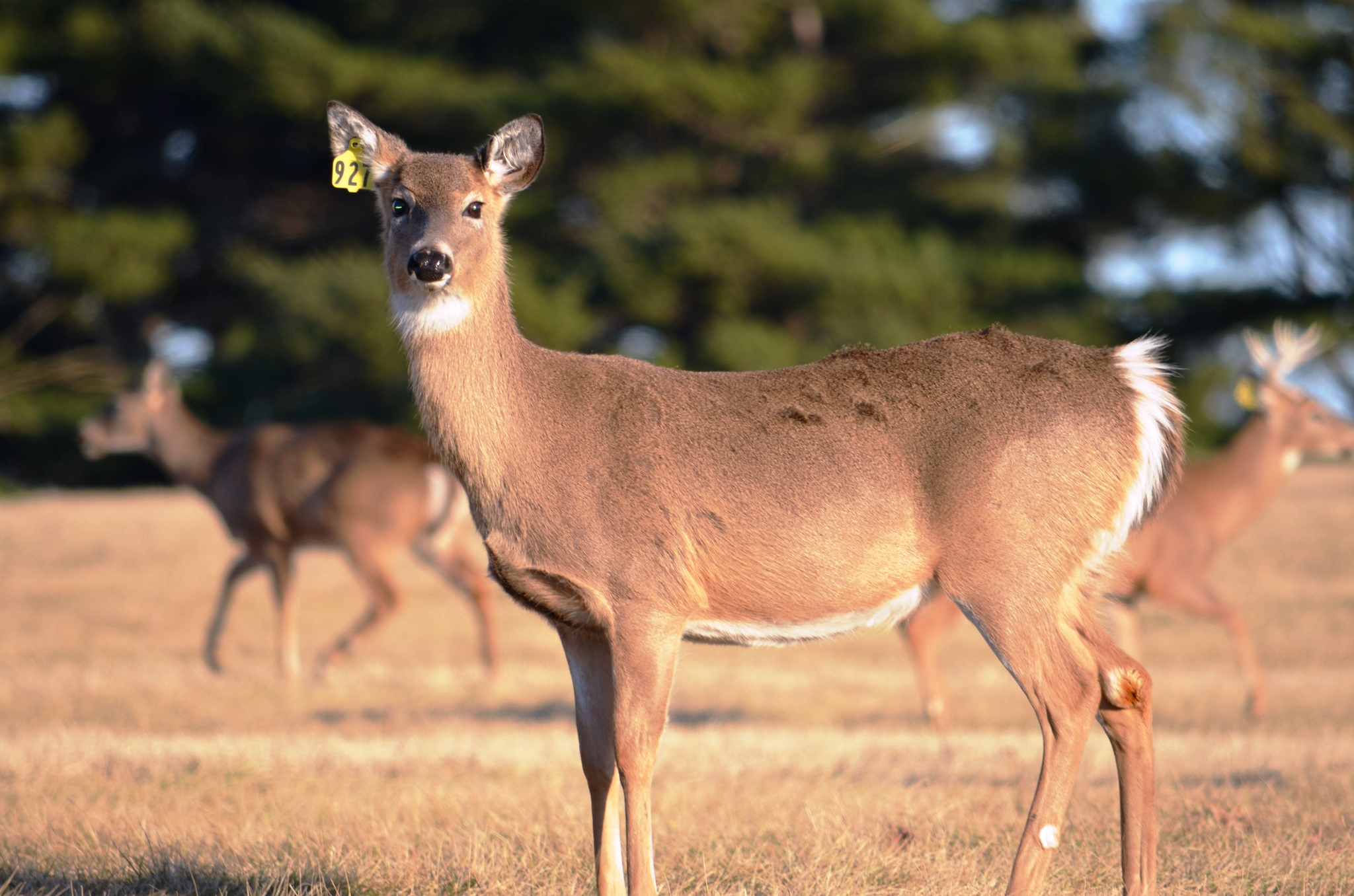 A Federal Agency's Birth Control Program … For Deer | Newscripts
