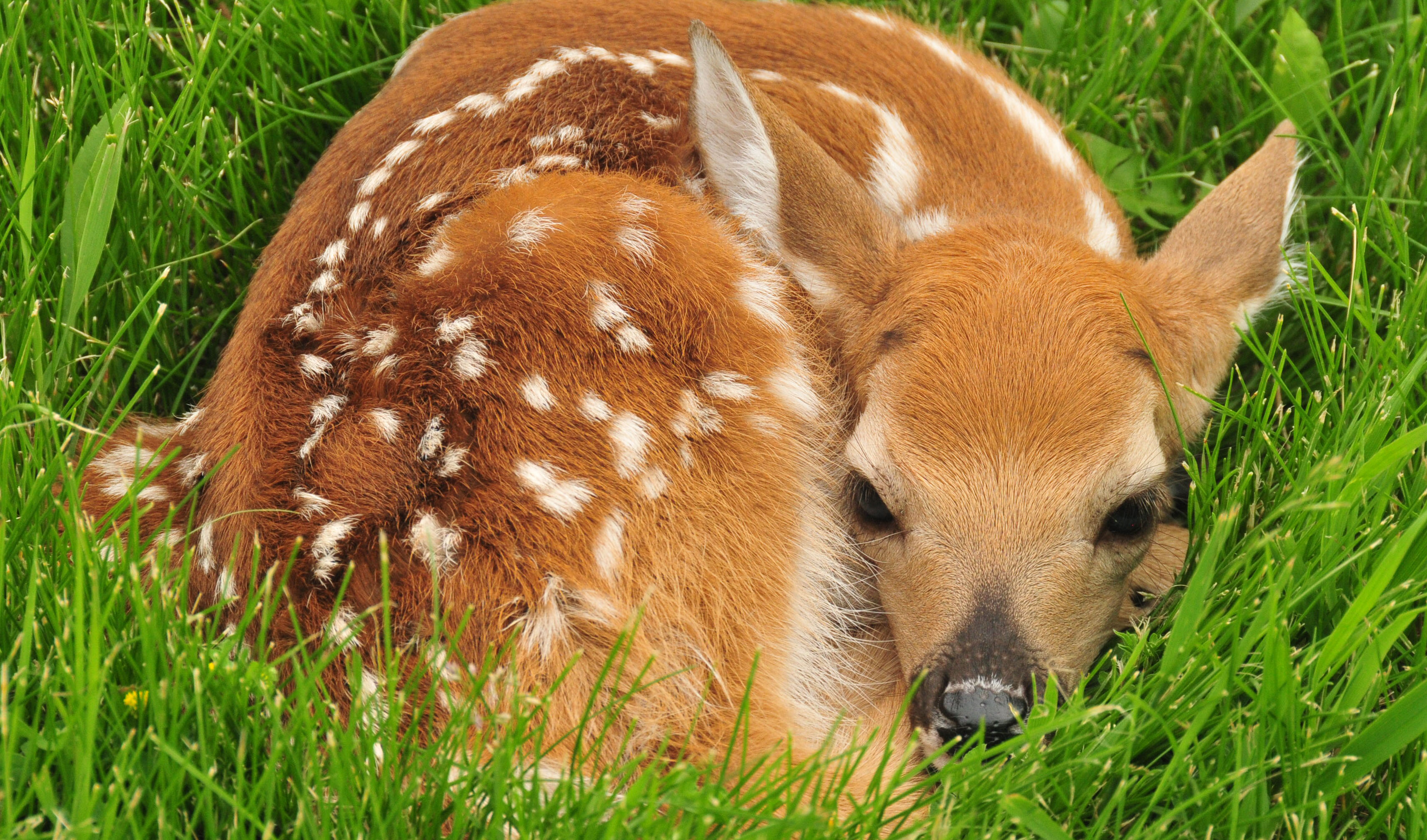 BRIEF: Sneaky Deer Moms Use Another Species as Babysitters | Inside ...